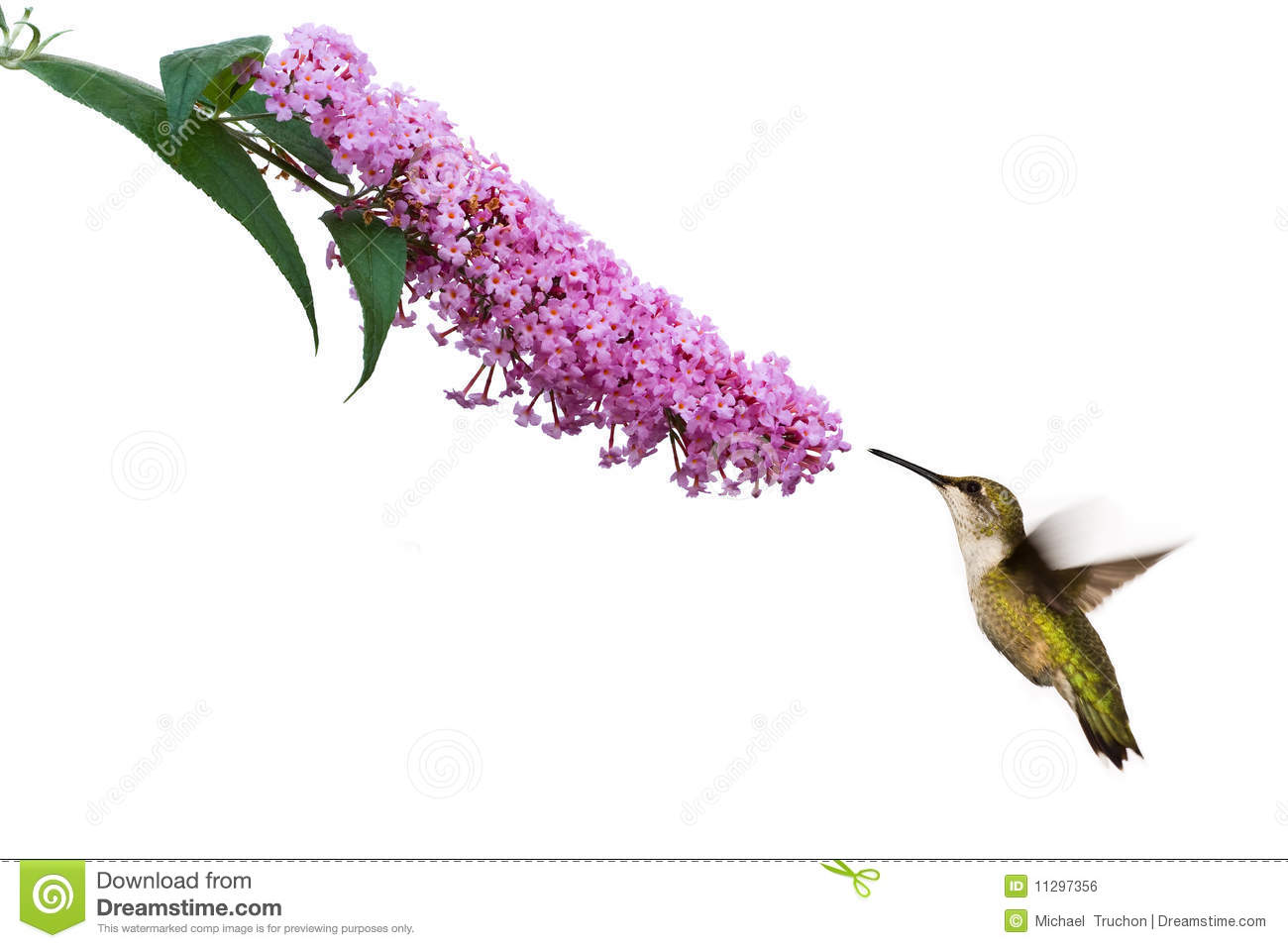 Female ruby throated hummingbird hovers near pink butterflybush. image ...