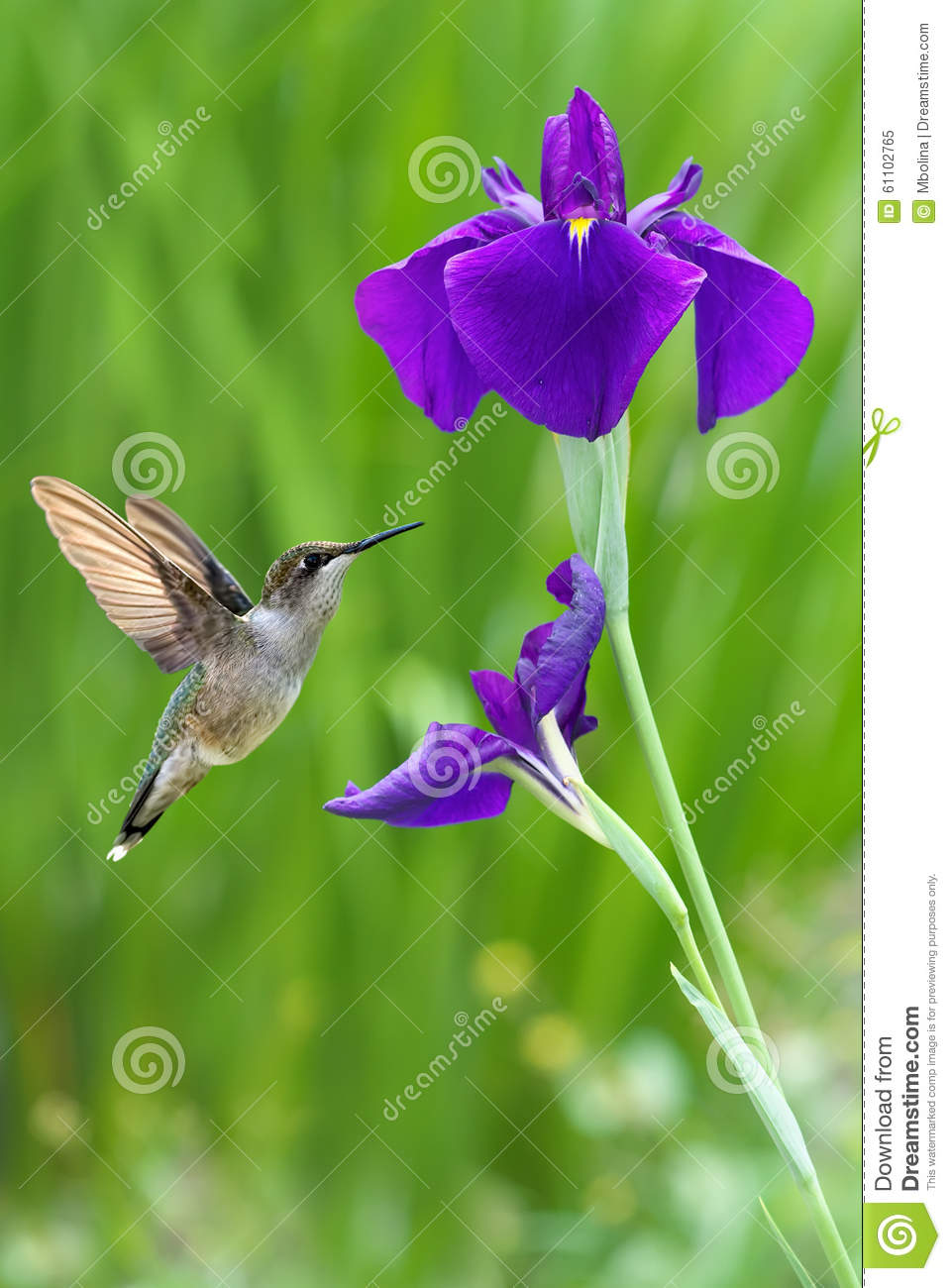 Hummingbird With Iris Flower Over Green Background Stock