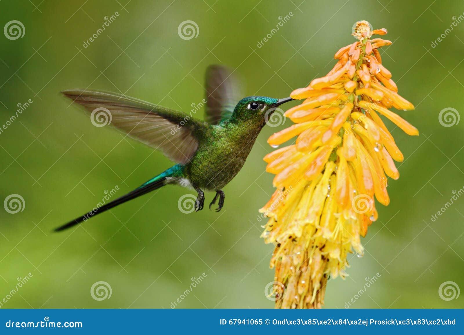 Hummingbird Long-tailed Sylph eating nectar from beautiful yellow flower in Ecuador