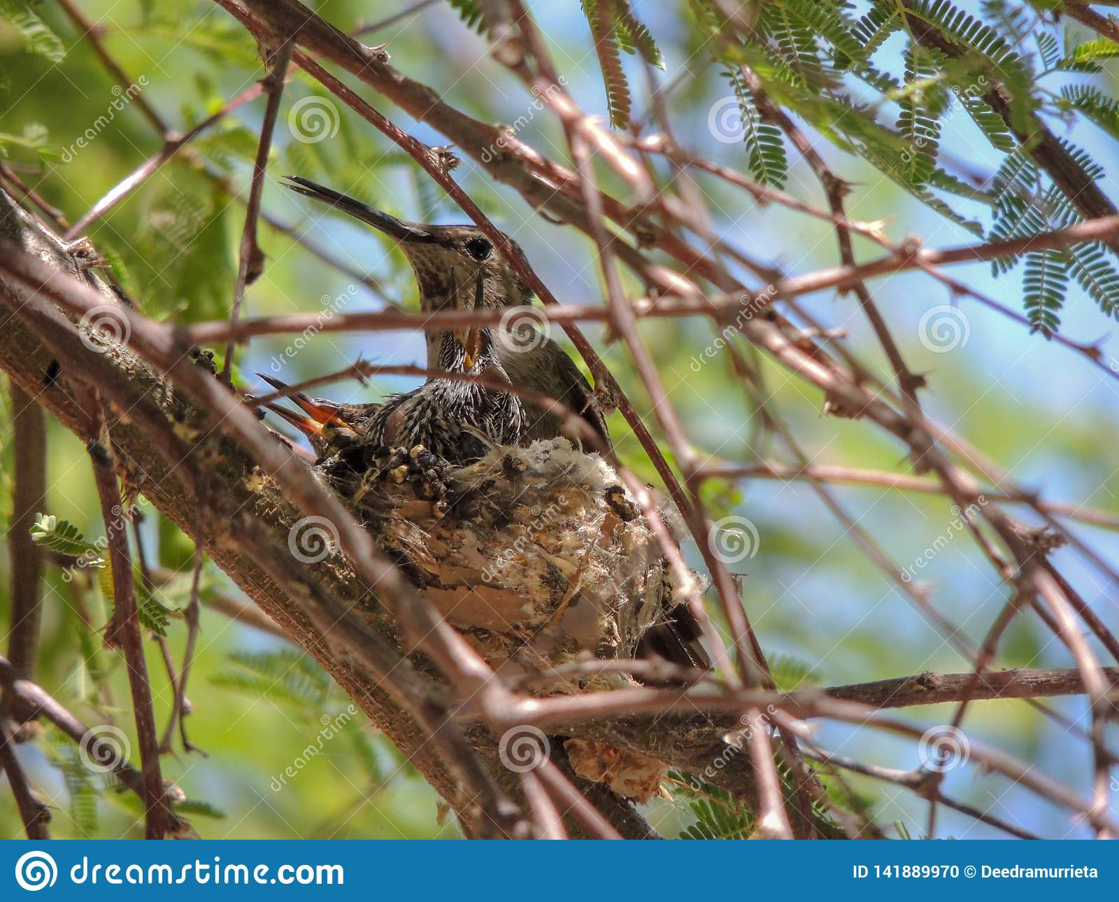 Hummingbird nest with chicks in mesquite
