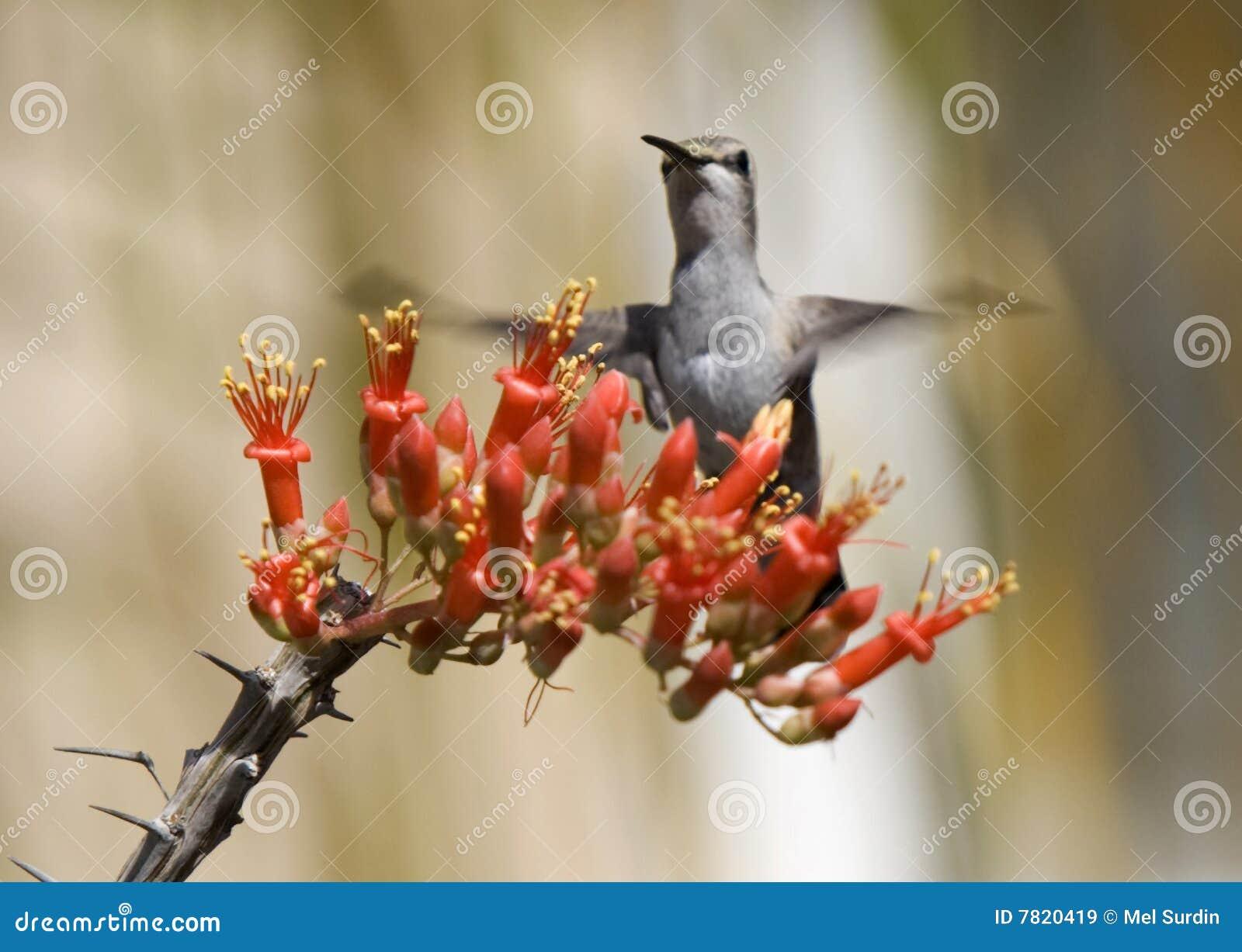 Hummingbird Ocotillo Blossom