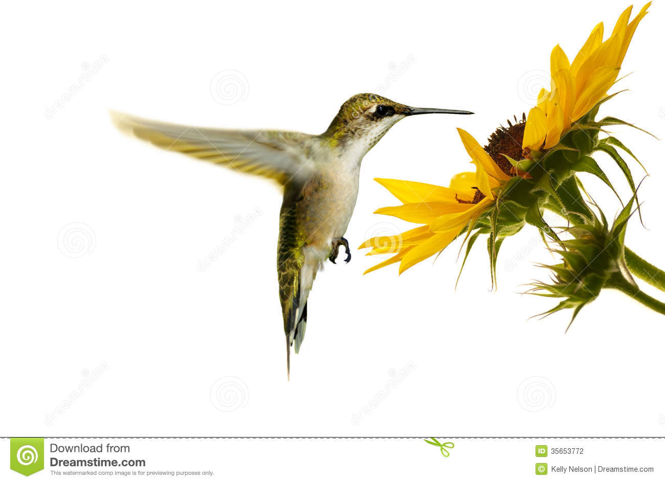 Humming Bird Bush