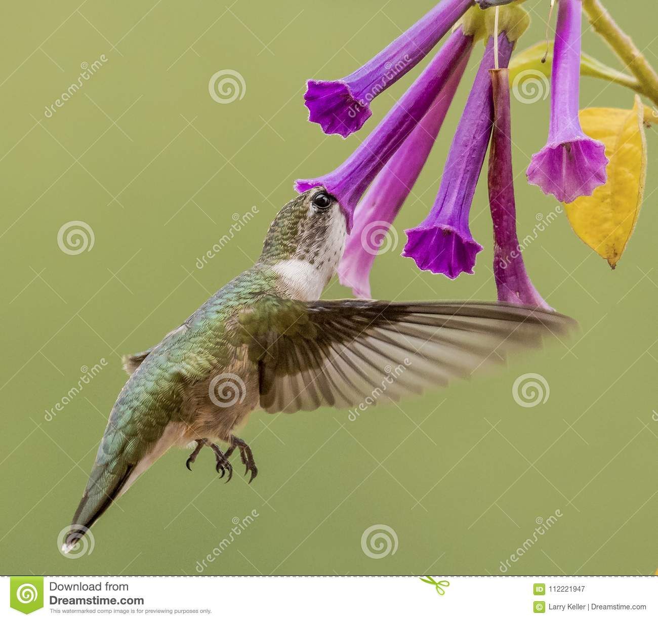 Hummingbird sipping on Violet Flowers