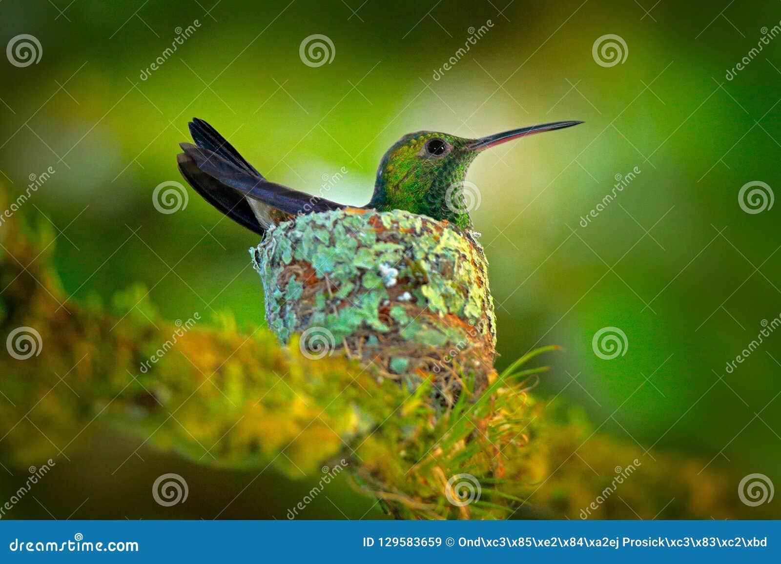 Hummingbird sitting on the eggs in the nest, Trinidad and Tobago. Copper-rumped Hummingbird, Amazilia tobaci, on the tree, wildlif