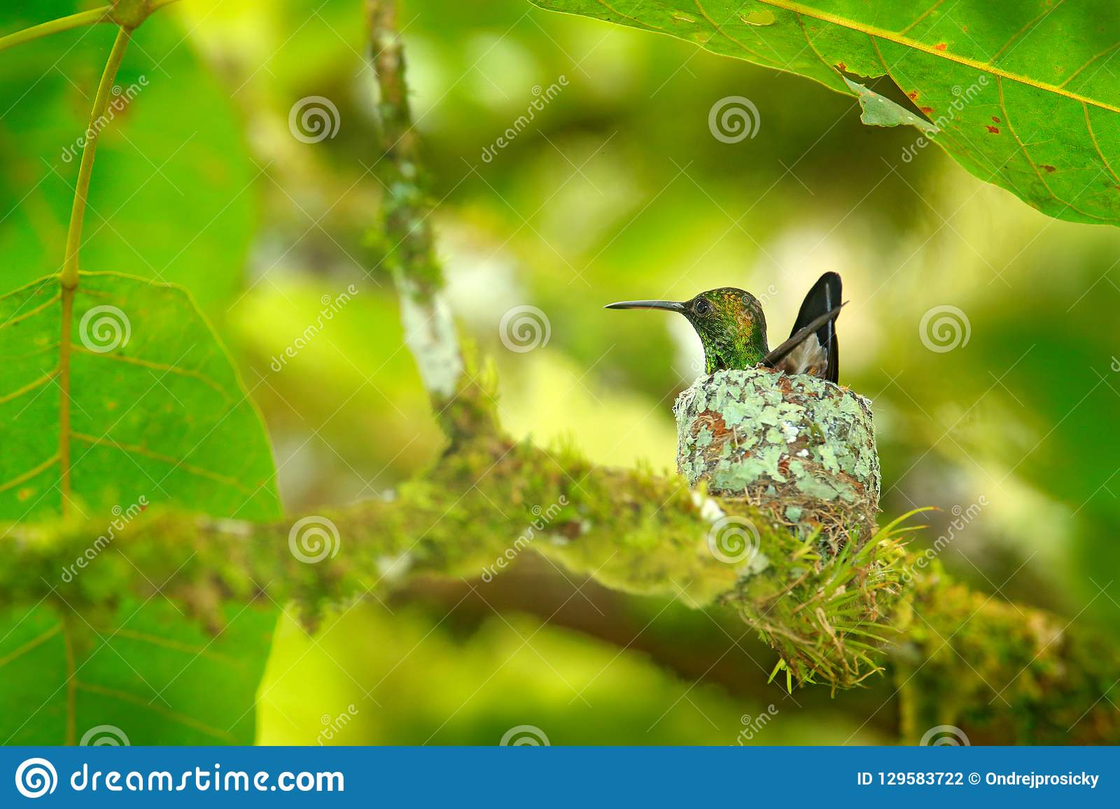 Hummingbird sitting on the eggs in the nest, Trinidad and Tobago. Copper-rumped Hummingbird, Amazilia tobaci, on the tree, wildlif