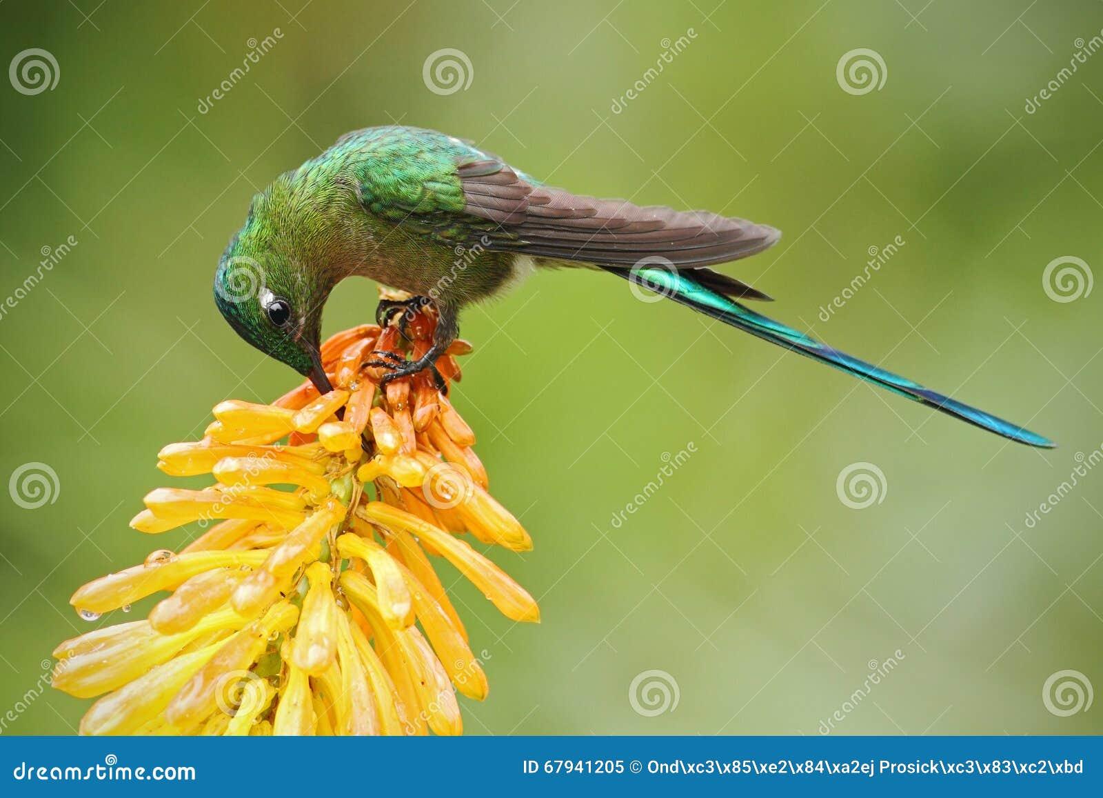 Hummingbird sylfidy łasowania Długoogonkowy nektar od pięknego żółtego strelicia kwiatu w Ekwador