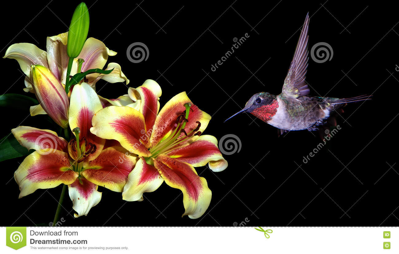 Hummingbird with tropical lily flowers on black background stock hummingbird with tropical lily flowers on black background izmirmasajfo Images