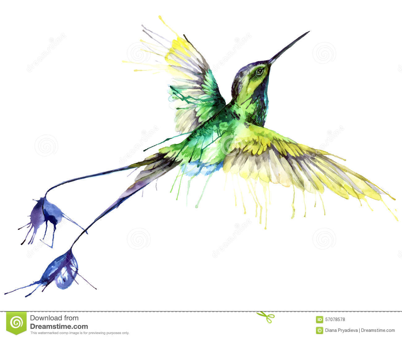 Hummingbird, watercolor painting. Vector illustration on white ...