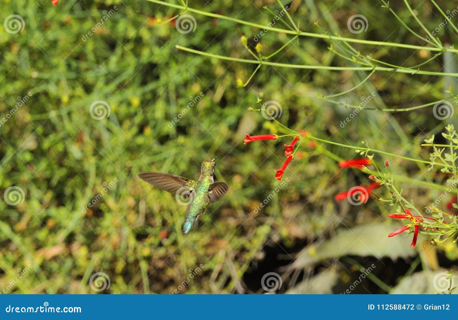 Hummingbird Zbliża się Czerwonego kwiatu