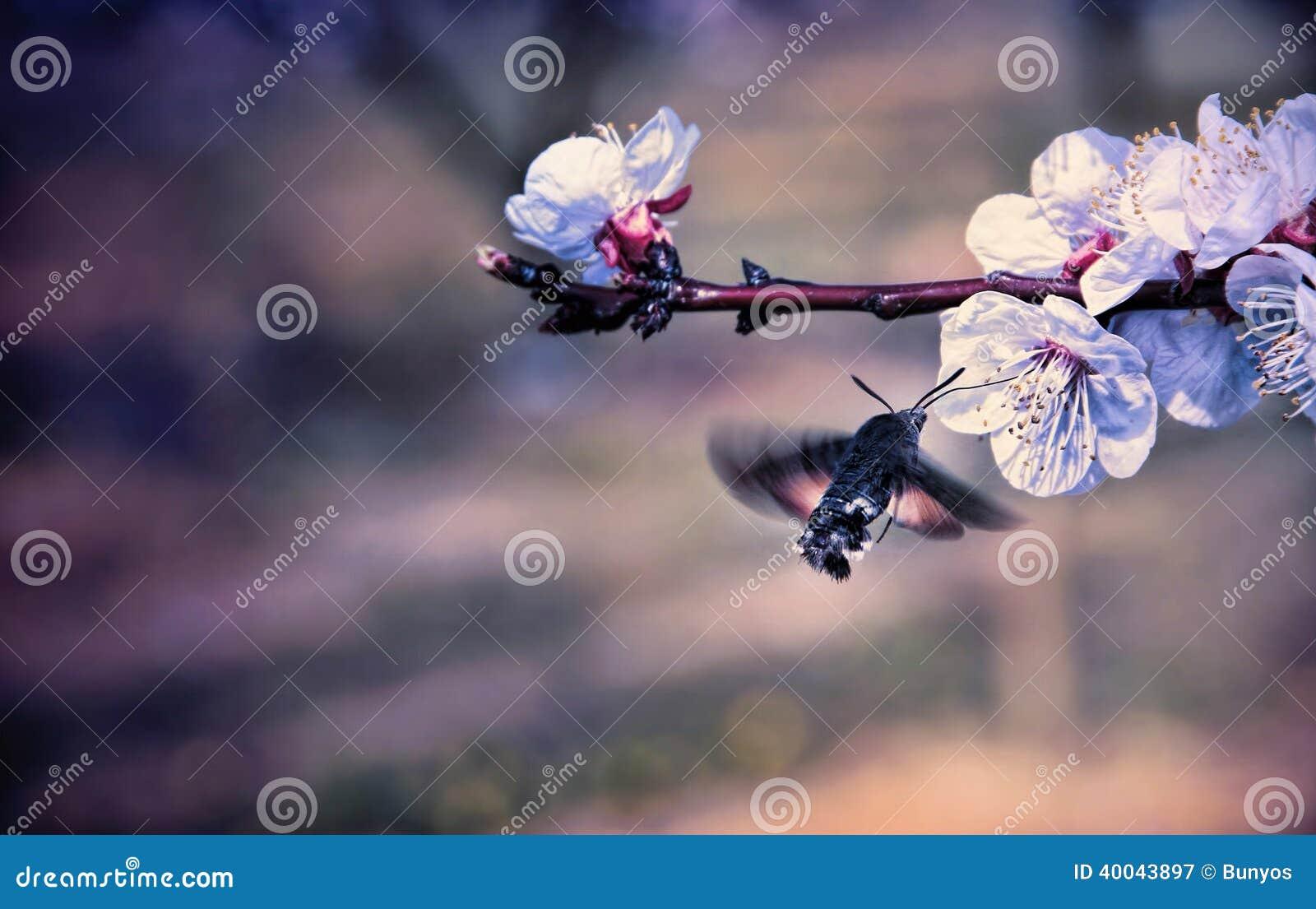 Hummingmoth pollinisent une fleur