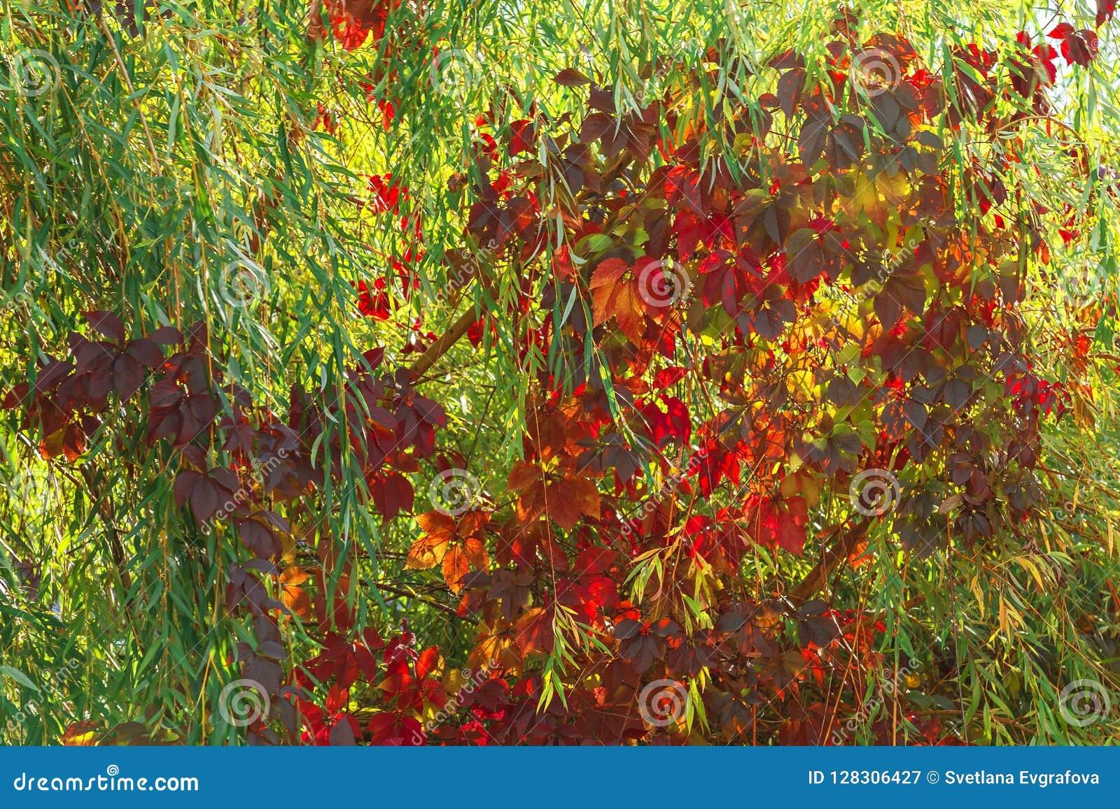 Humor del otoño, estaciones El fondo natural de sauce ramifica