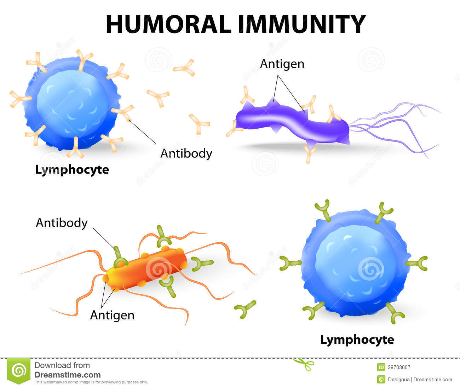 Humorale immuniteit. Lymfocyt, antilichaam en antigeen