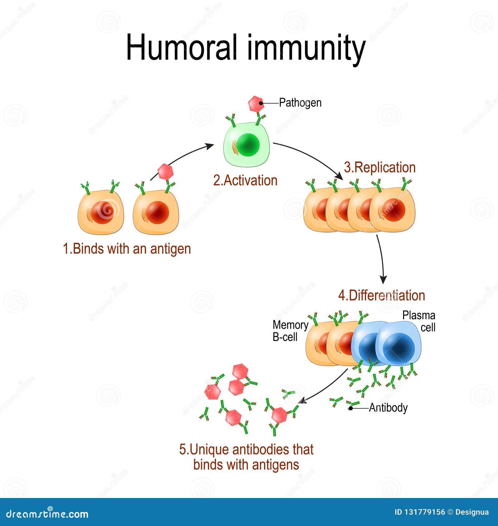 Humoralna odporność pośrednicząca odporność Viruse, limfocyt, niwecznik i antygen, Wektorowy diagram dla edukacyjnego, biologiczn