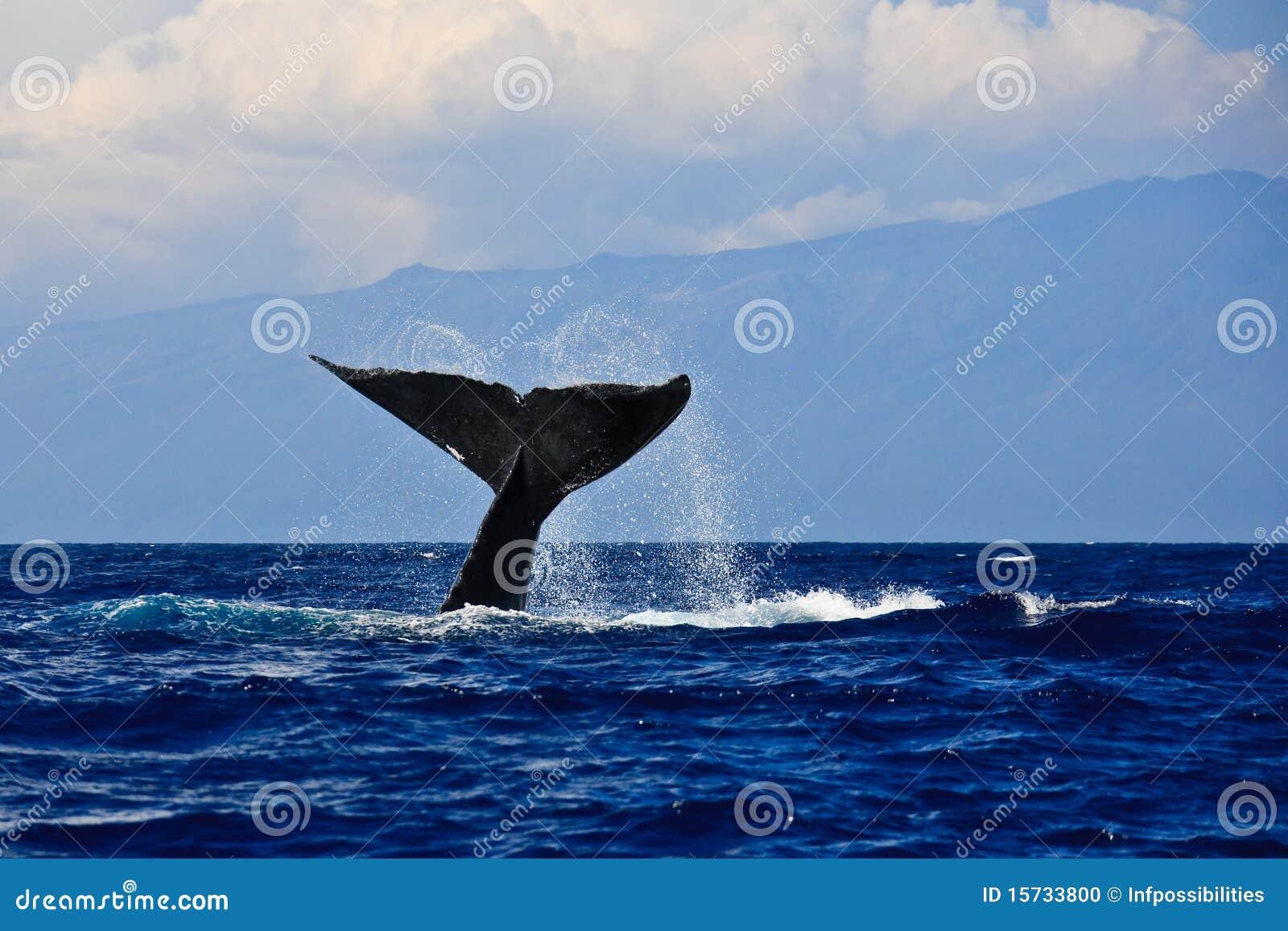 Humpback φάλαινα ουρών