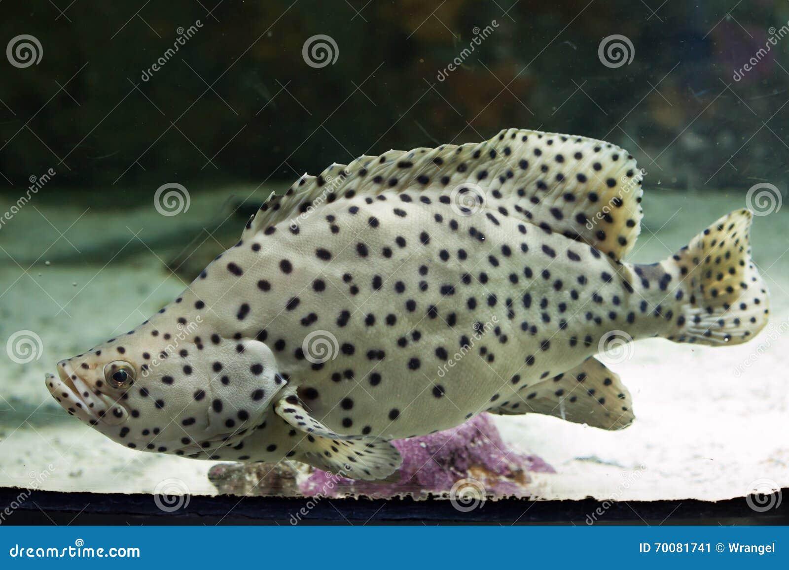 Humpback grouper (Cromileptes altivelis)