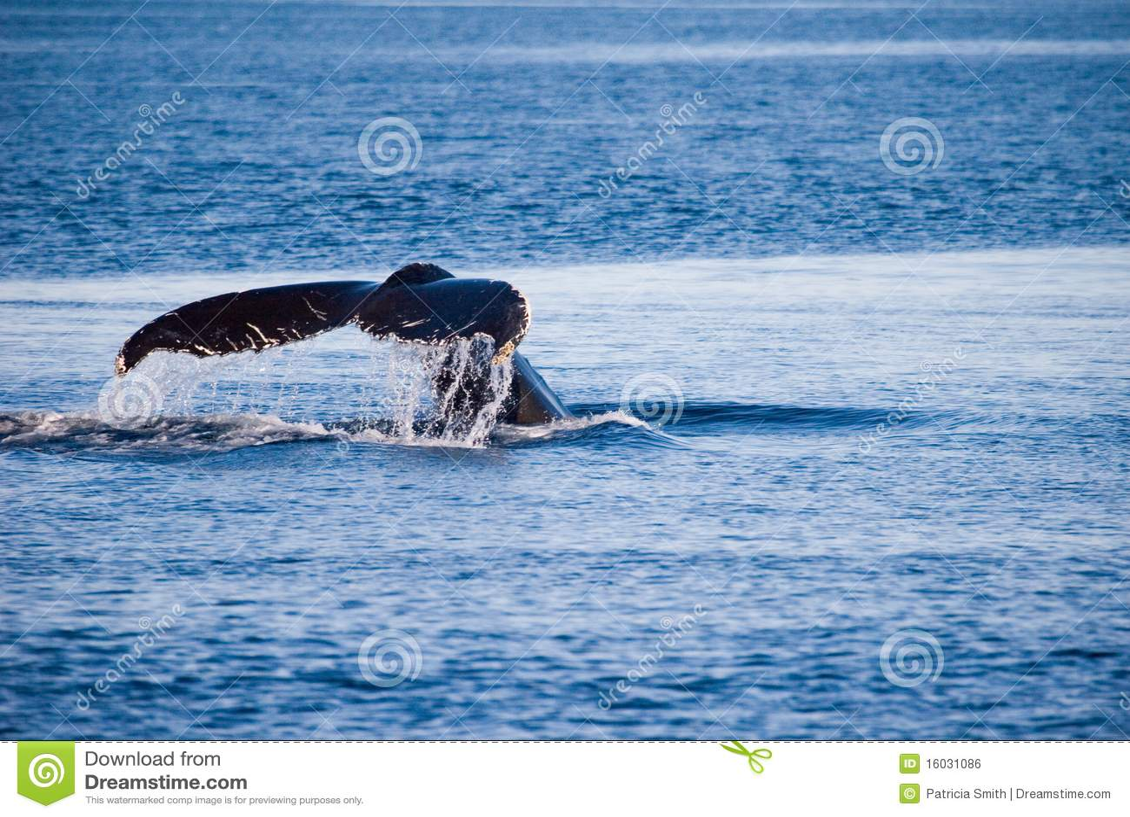 Humpback ogonu wieloryb