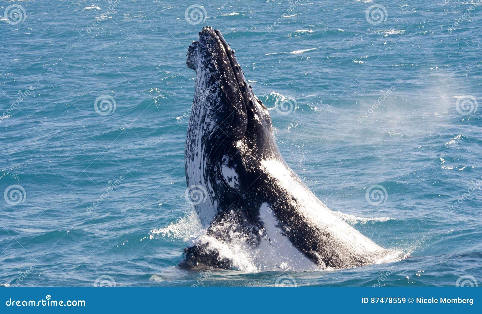 Humpback Wal przy Hervey zatoką