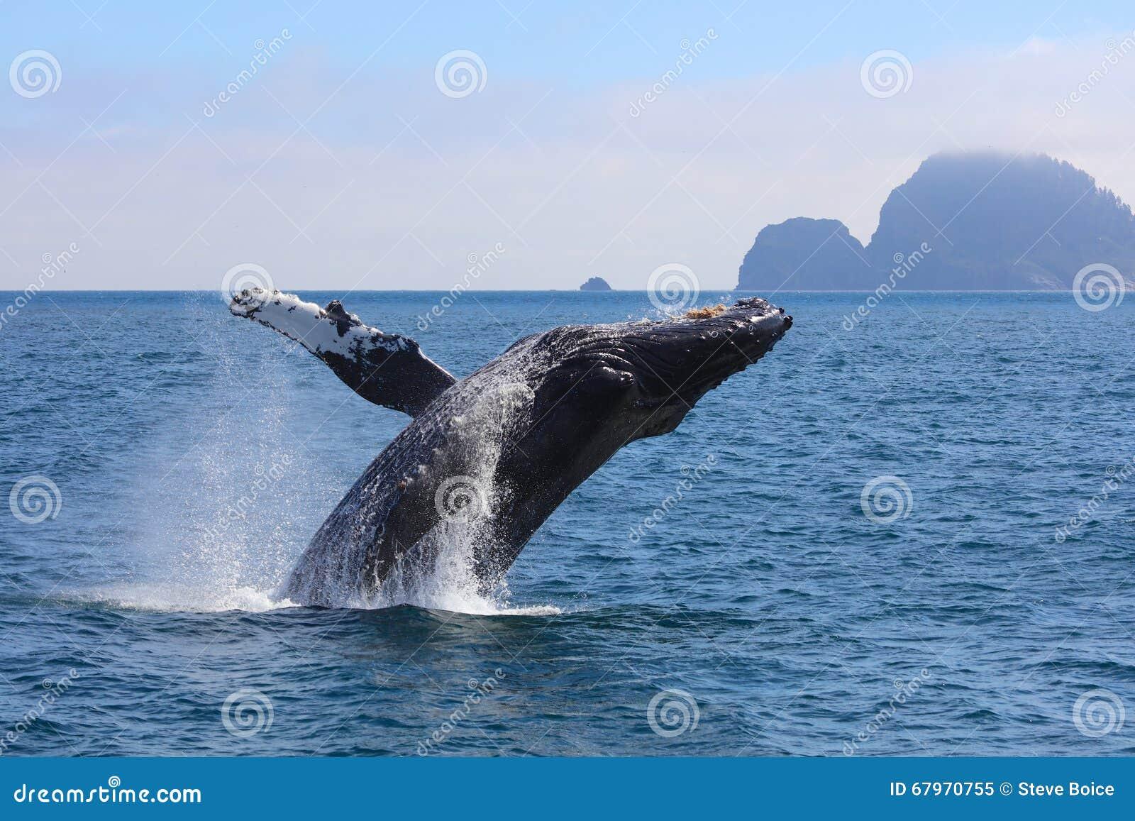 Humpback Whale Breaching Kenai Fjords National Park Alaska