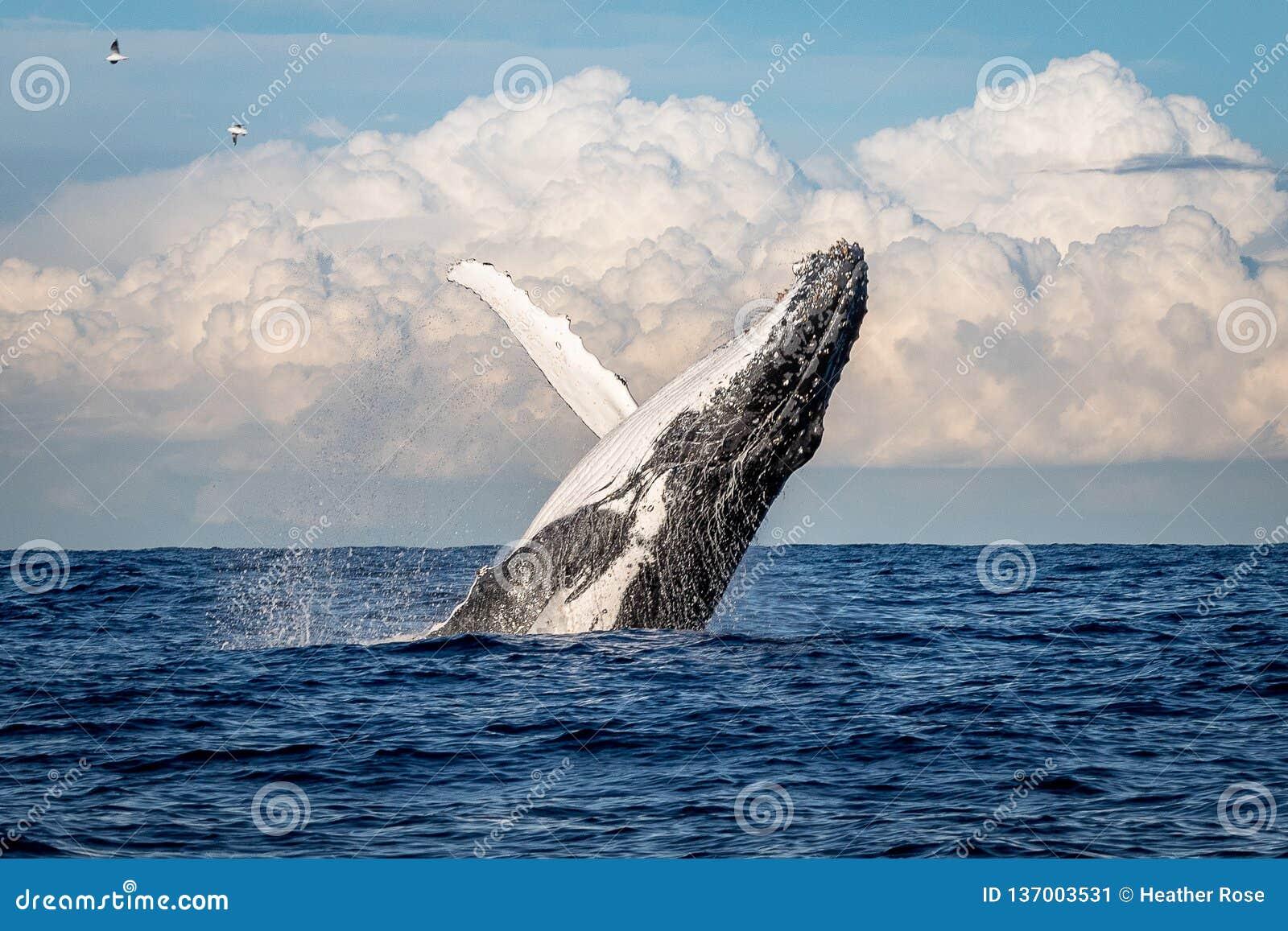 Humpback whale breaching off Manly beach, Sydney, Australia