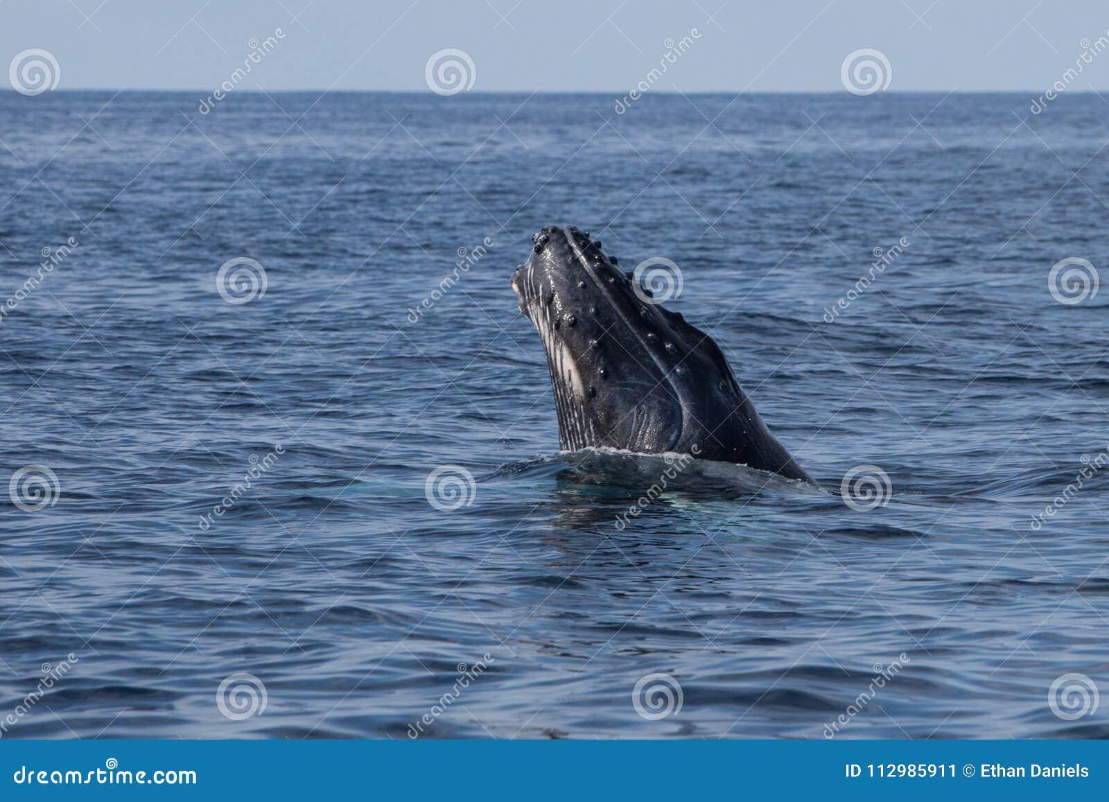 Humpback Whale Calf Emerging From Ocean