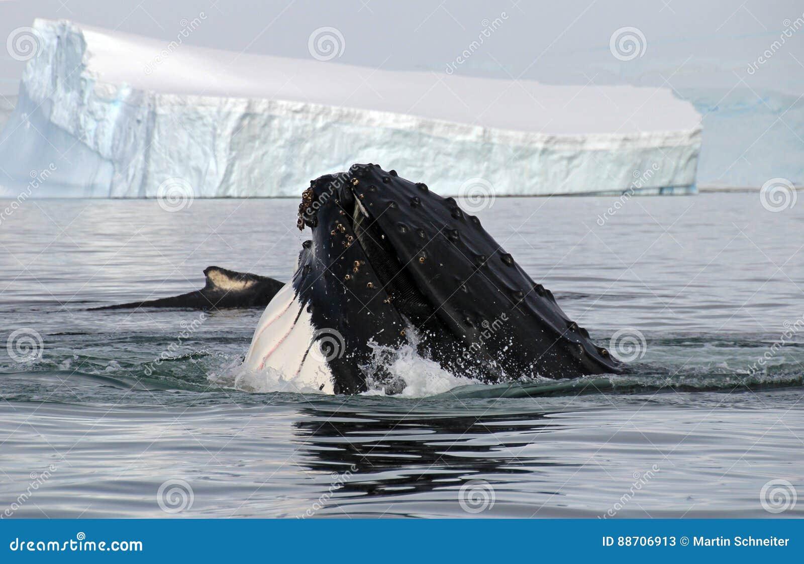 Humpback whale head