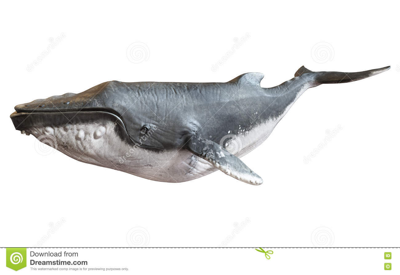 Humpback whale on an isolated white background.