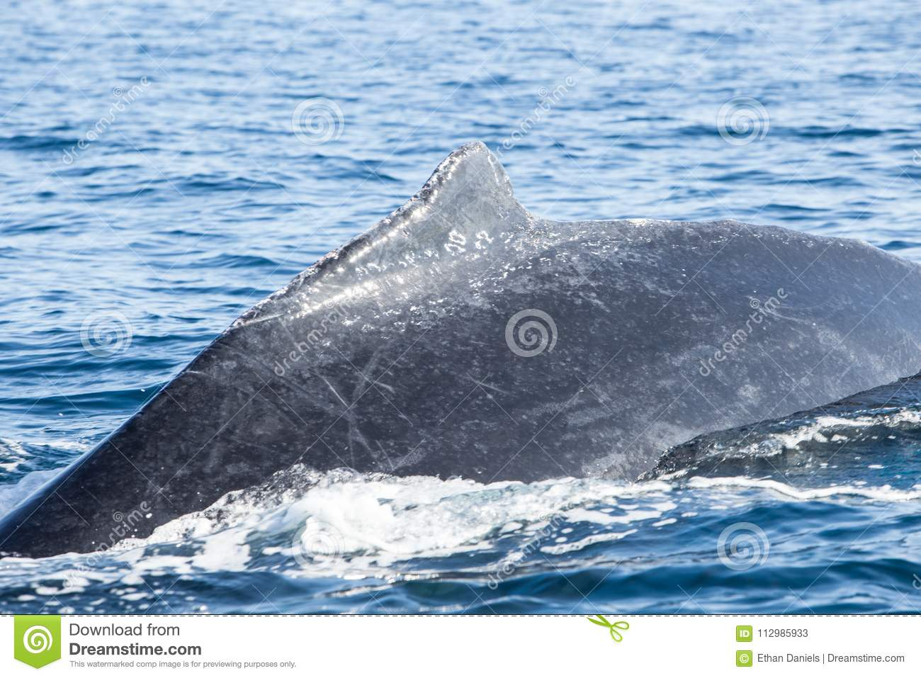 Humpback Whale Dorsal Fin at Surface