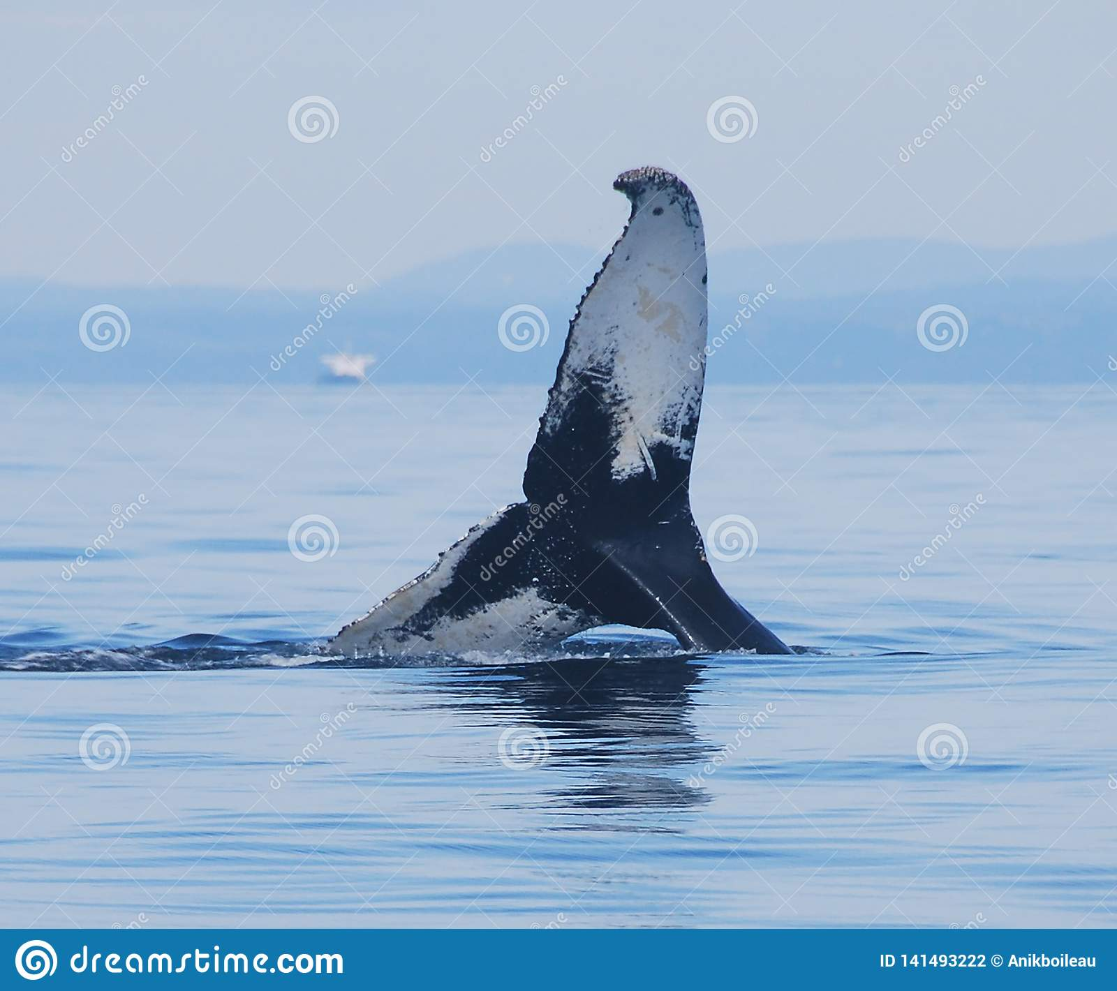 Humpback whale playing in the Sept-Iles Bay