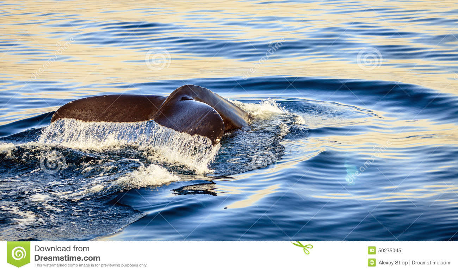Humpback wieloryb