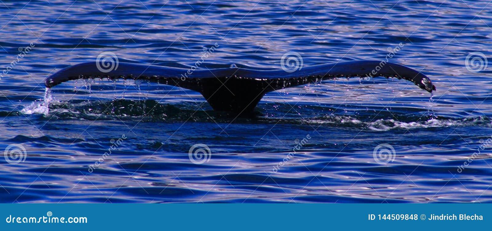 Humpback wieloryb, Iceland