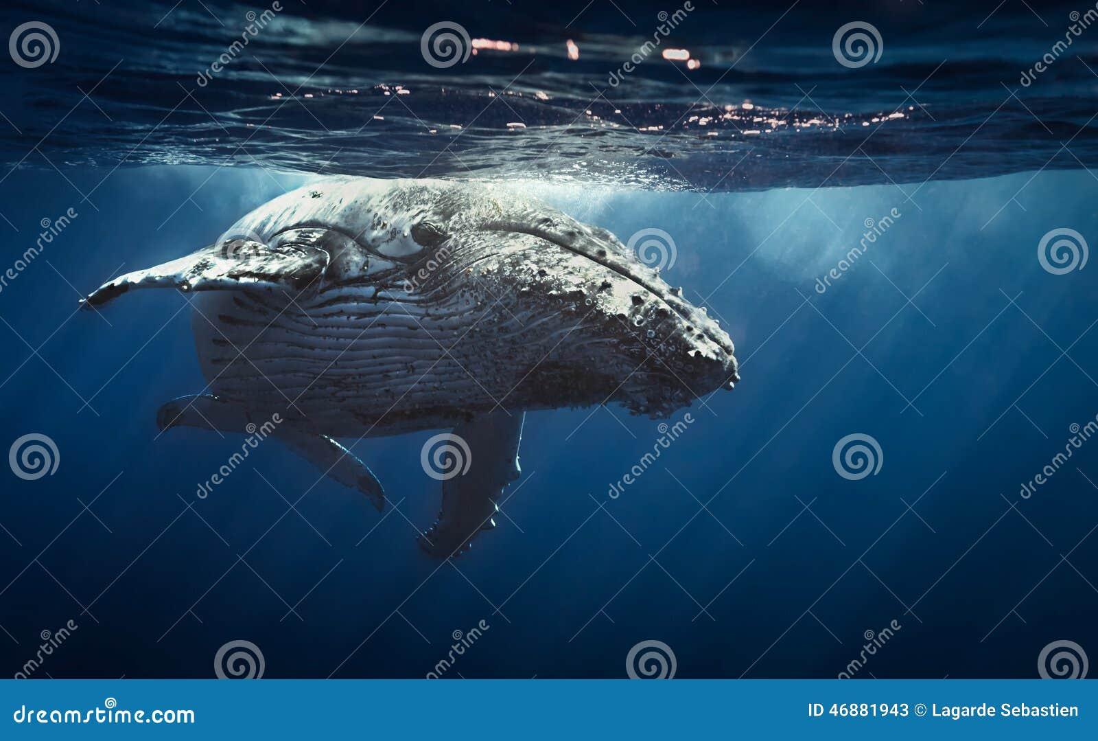 Humpback wieloryb - spotkanie wyspa 2104