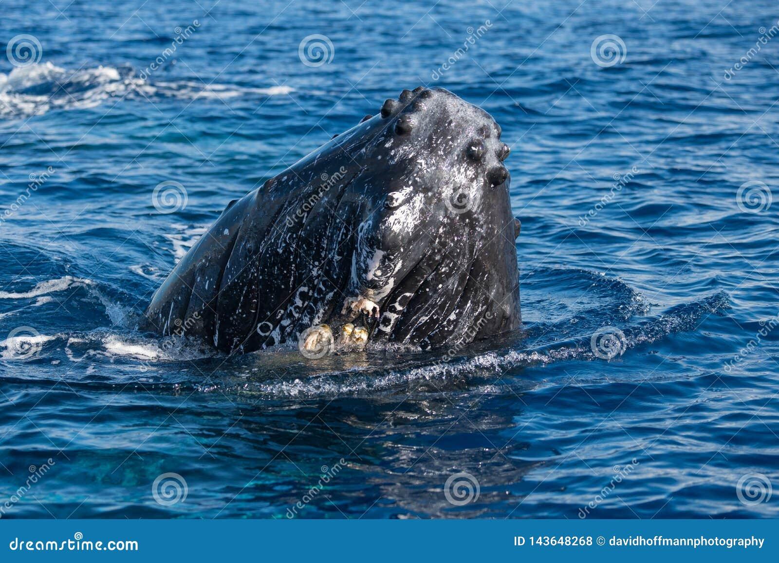 Humpback wieloryb spyhopping