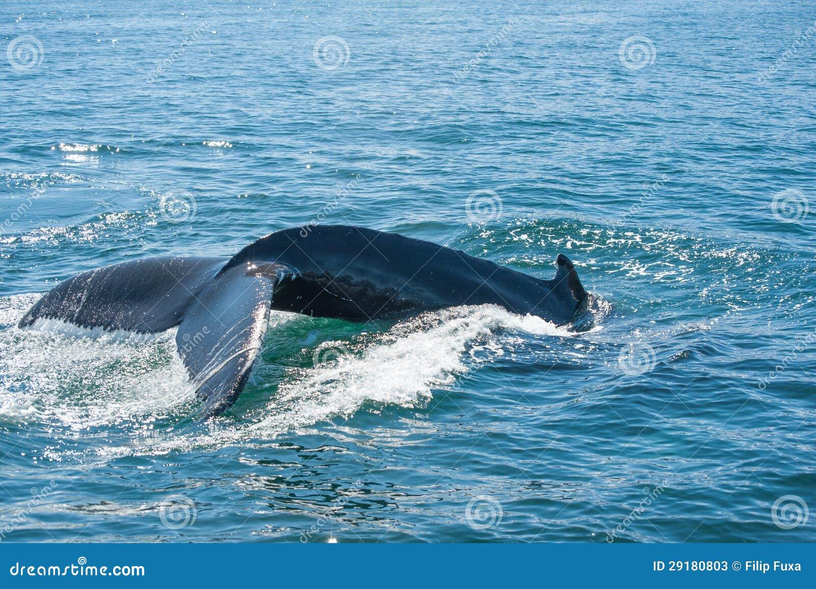 Humpback wieloryba żebro