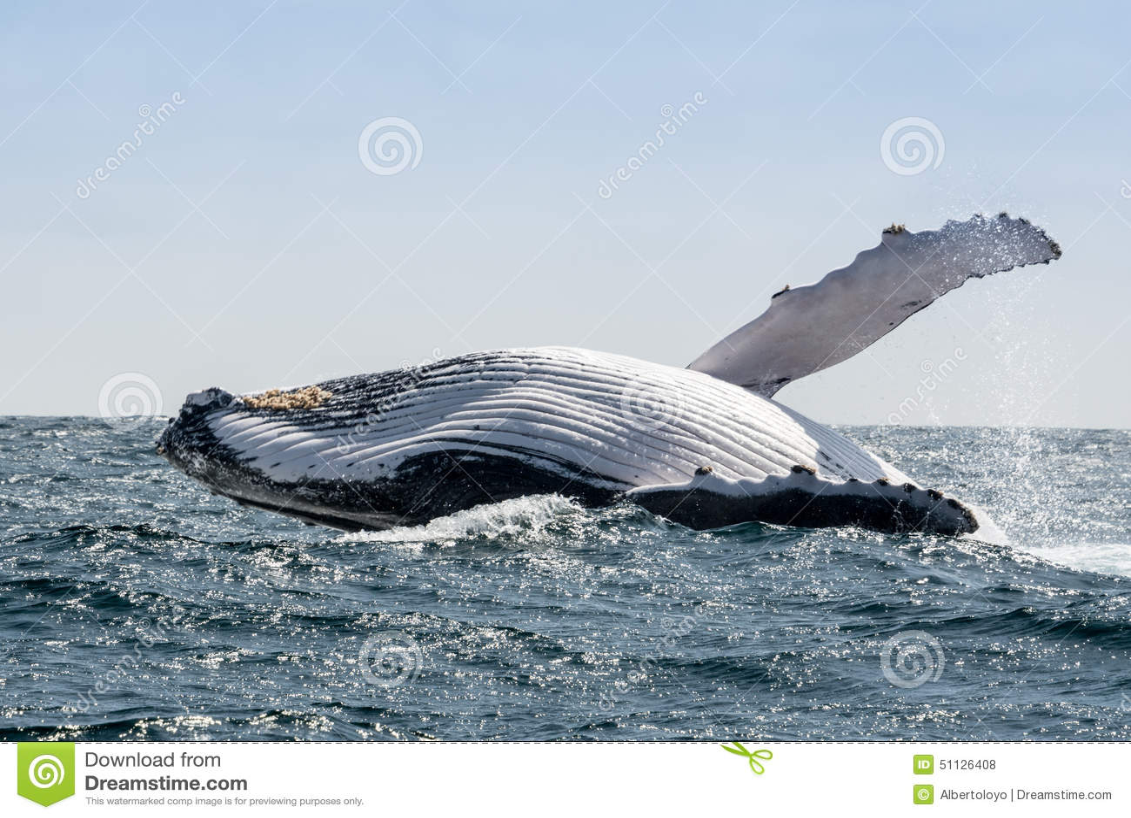 Humpback wieloryba doskakiwanie, Ekwador