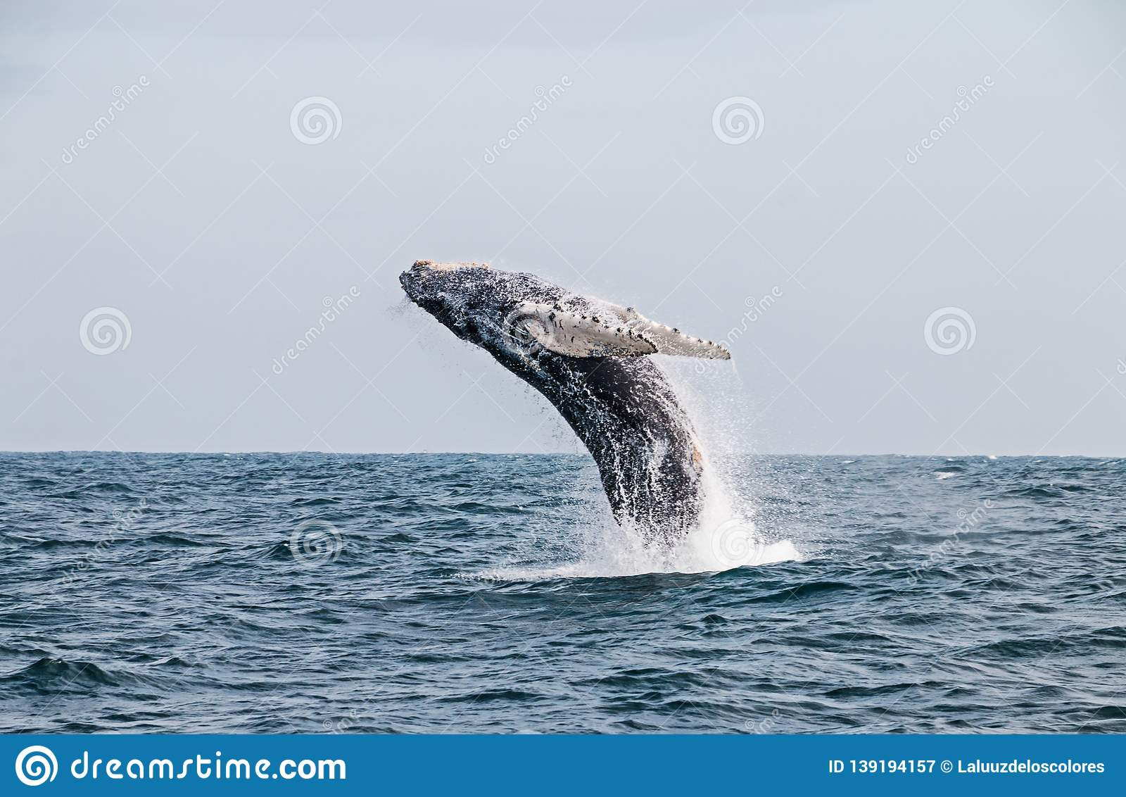 Humpback wieloryba doskakiwanie w peruvian oceanie spokojnym Po drugie rozciągliwość