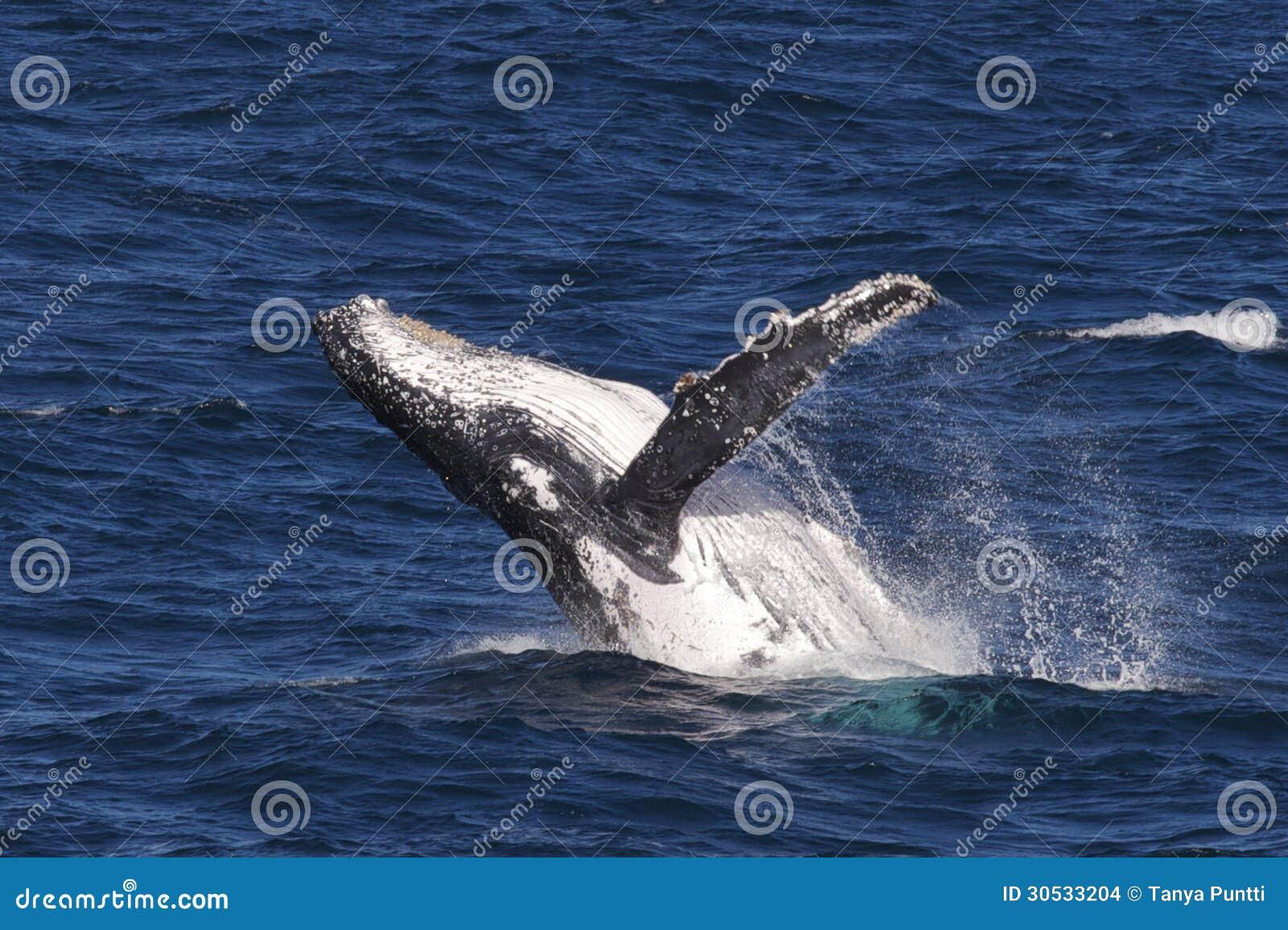 Humpback wieloryba naruszać