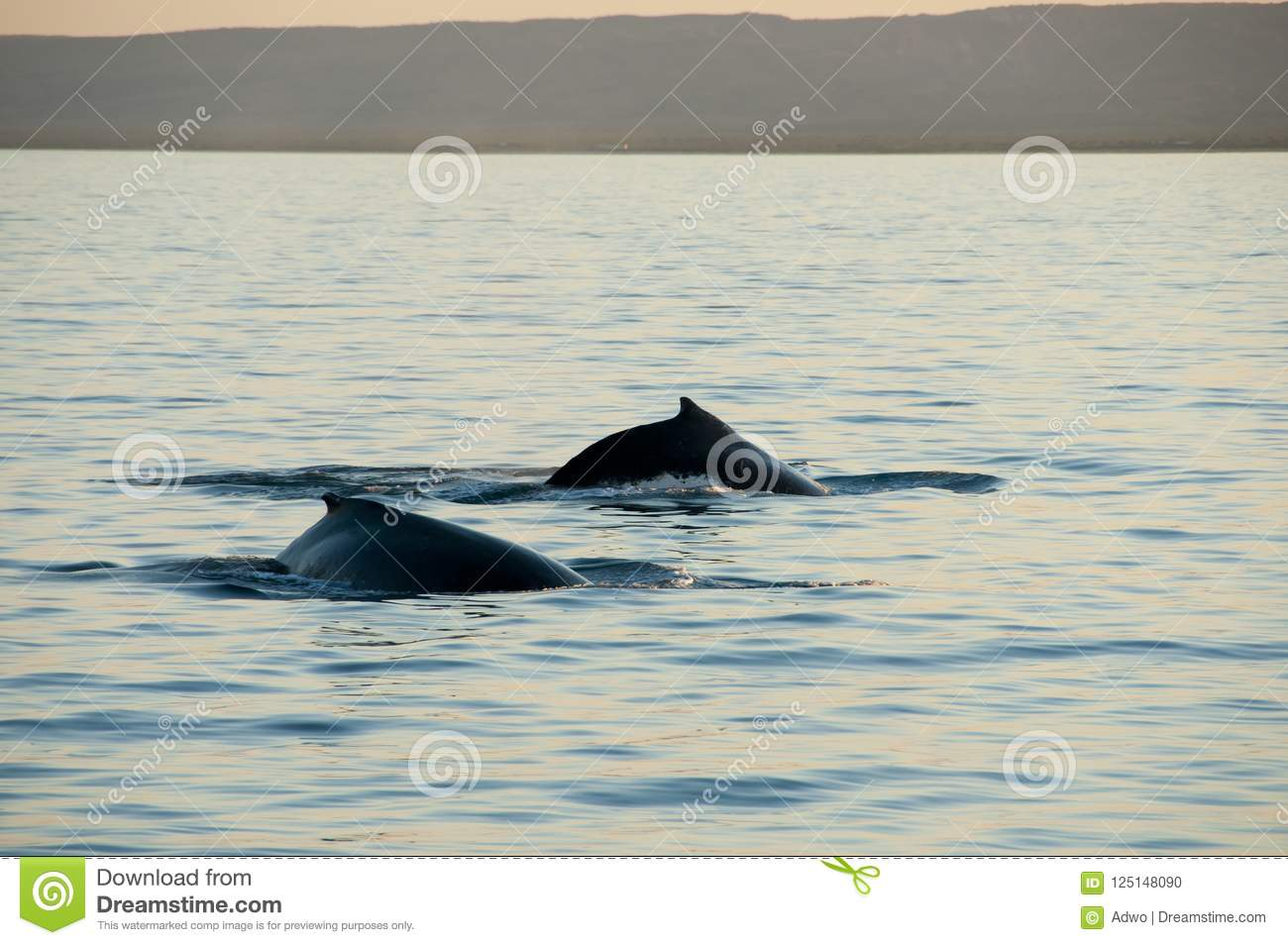 Humpback wieloryby