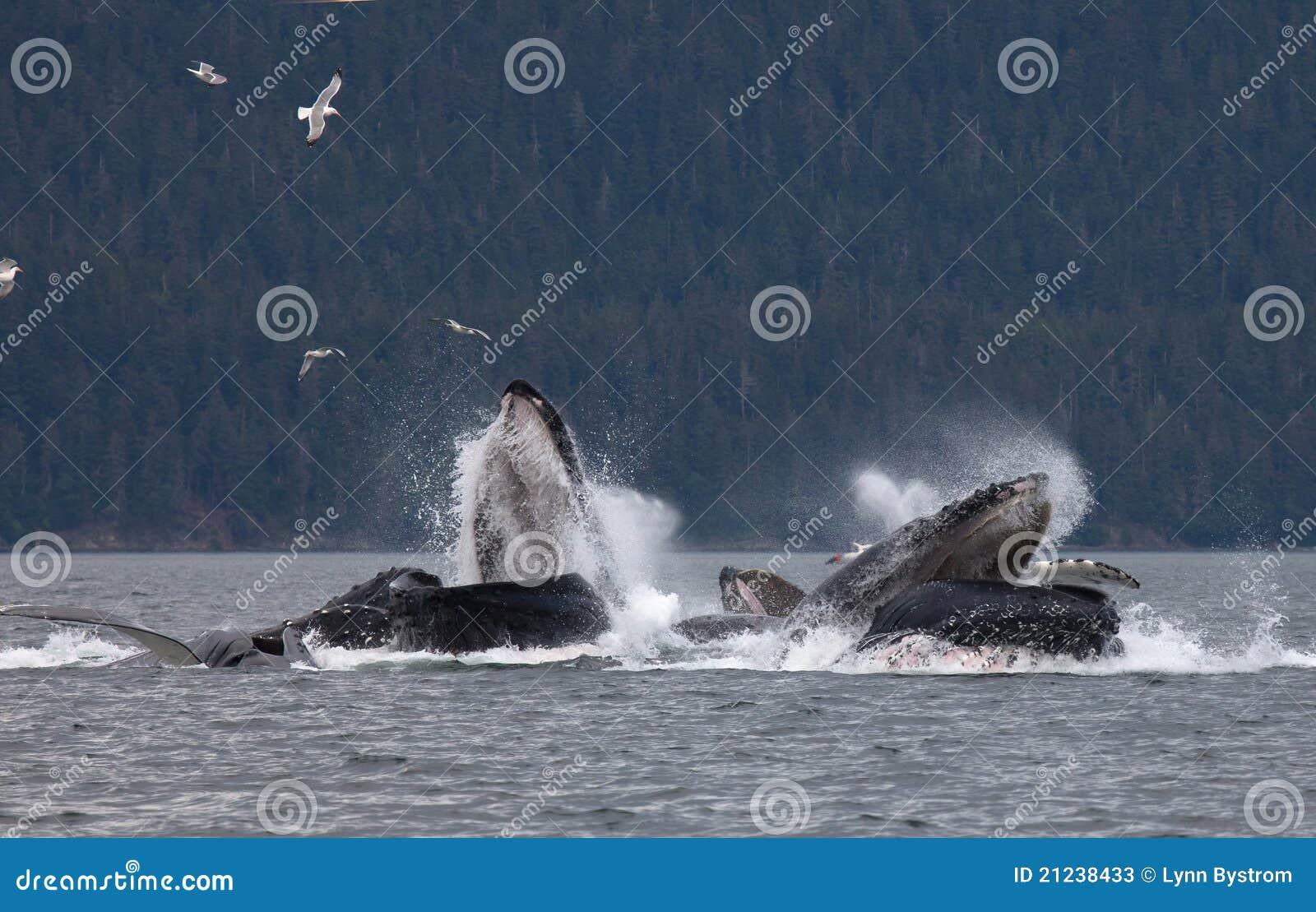 Humpback wieloryby