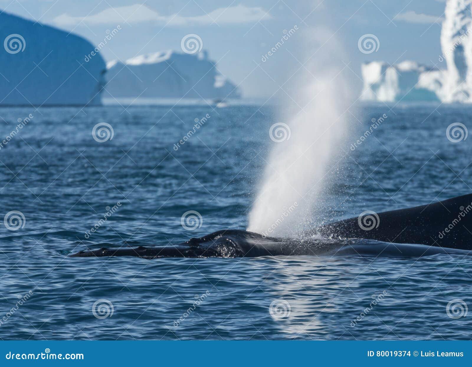 Humpback wieloryby karmi wśród gigantycznych gór lodowa, Ilulissat, Greenla
