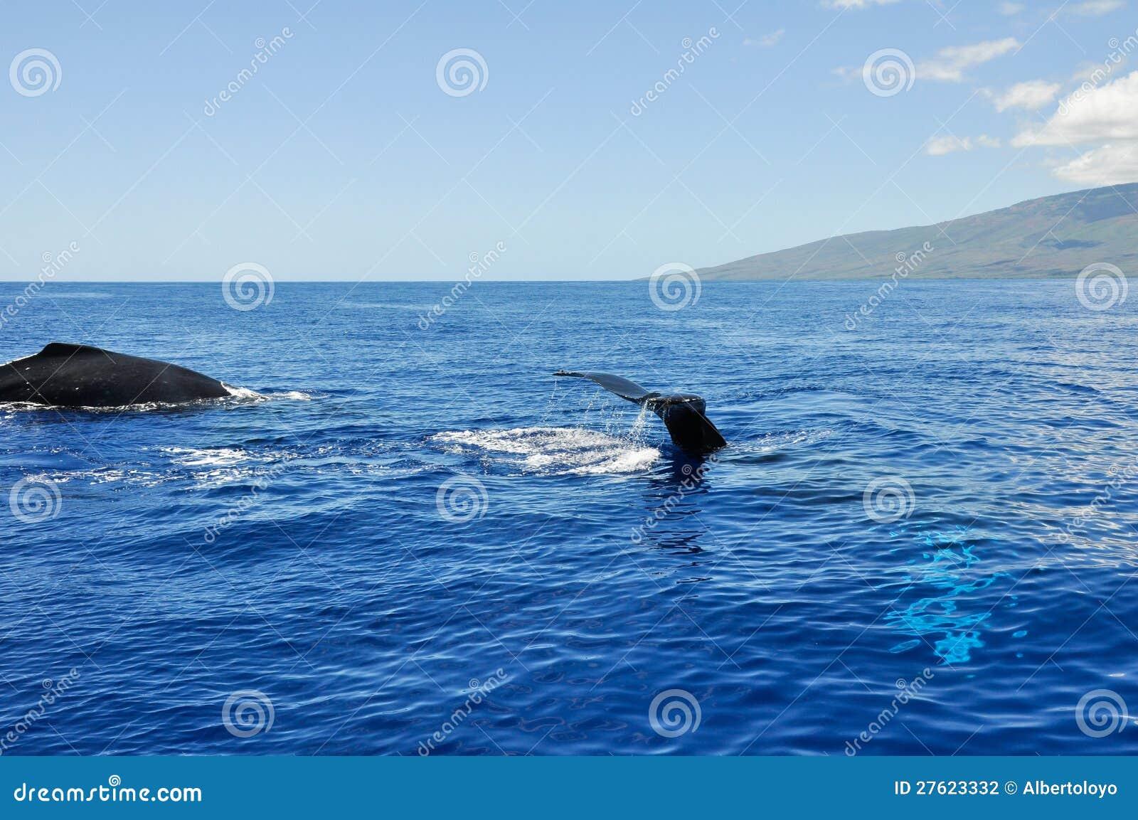 Humpback wieloryby w Lahaina, Maui (Hawaje)