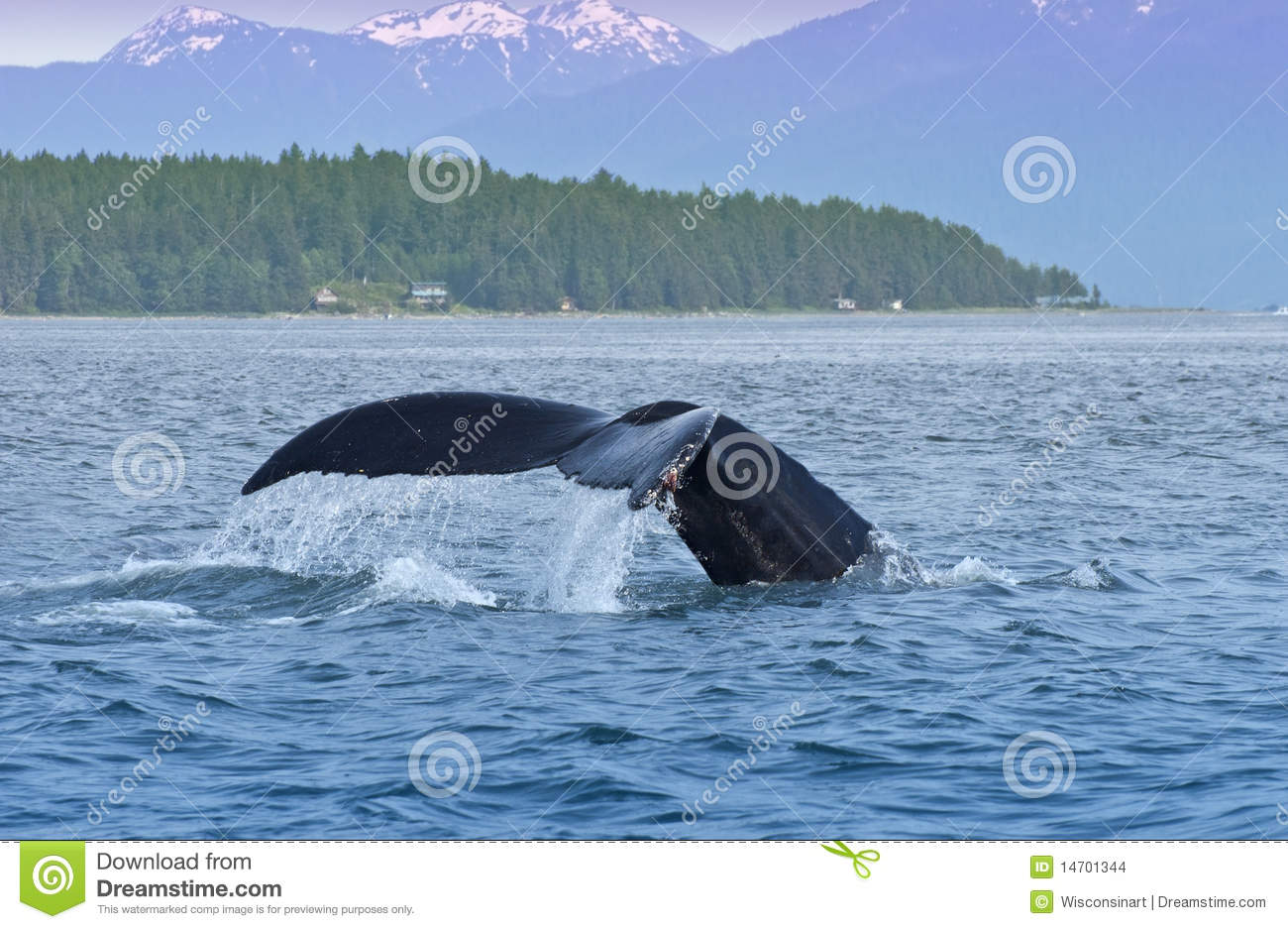 Humped Back Whale Tail, Nature, Wildlife Alaska