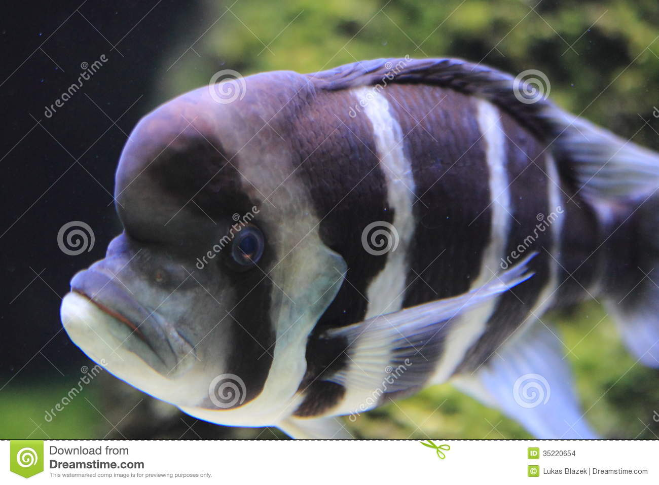 humphead cichlid stock images
