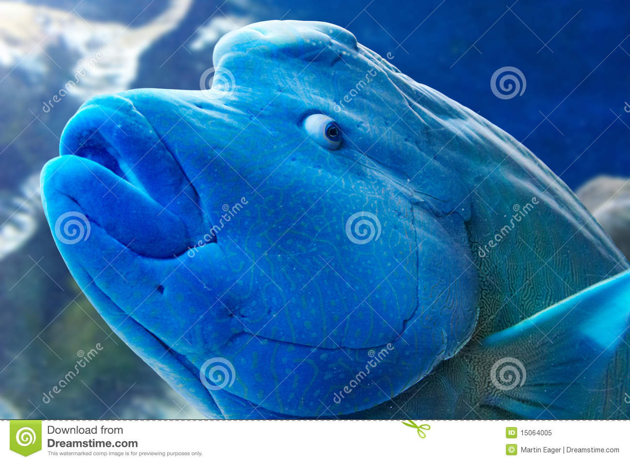 Humphead Wrasse fish looking straight at the camera with a comical    Humphead Fish