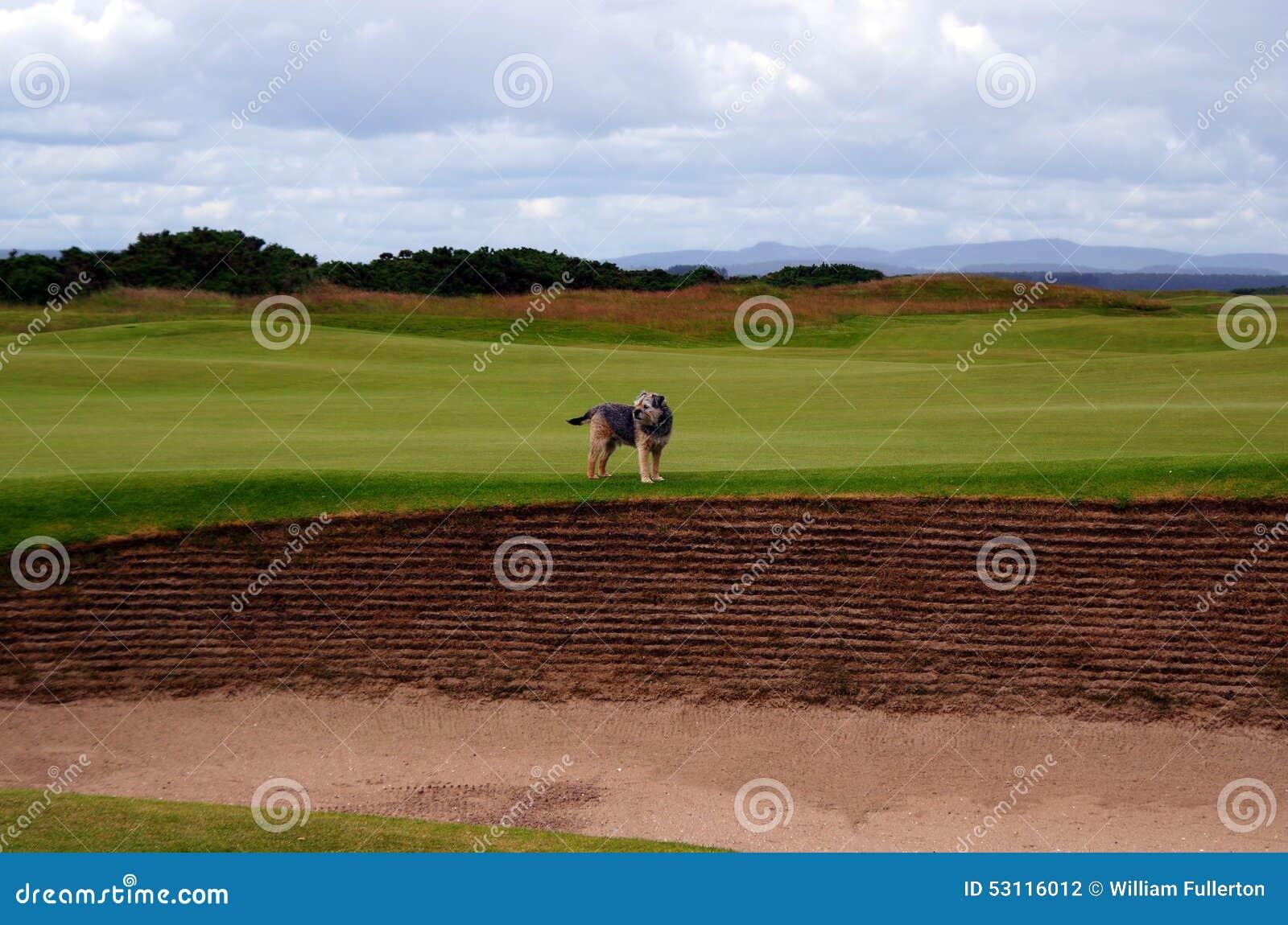 Hund auf dem Golfplatz