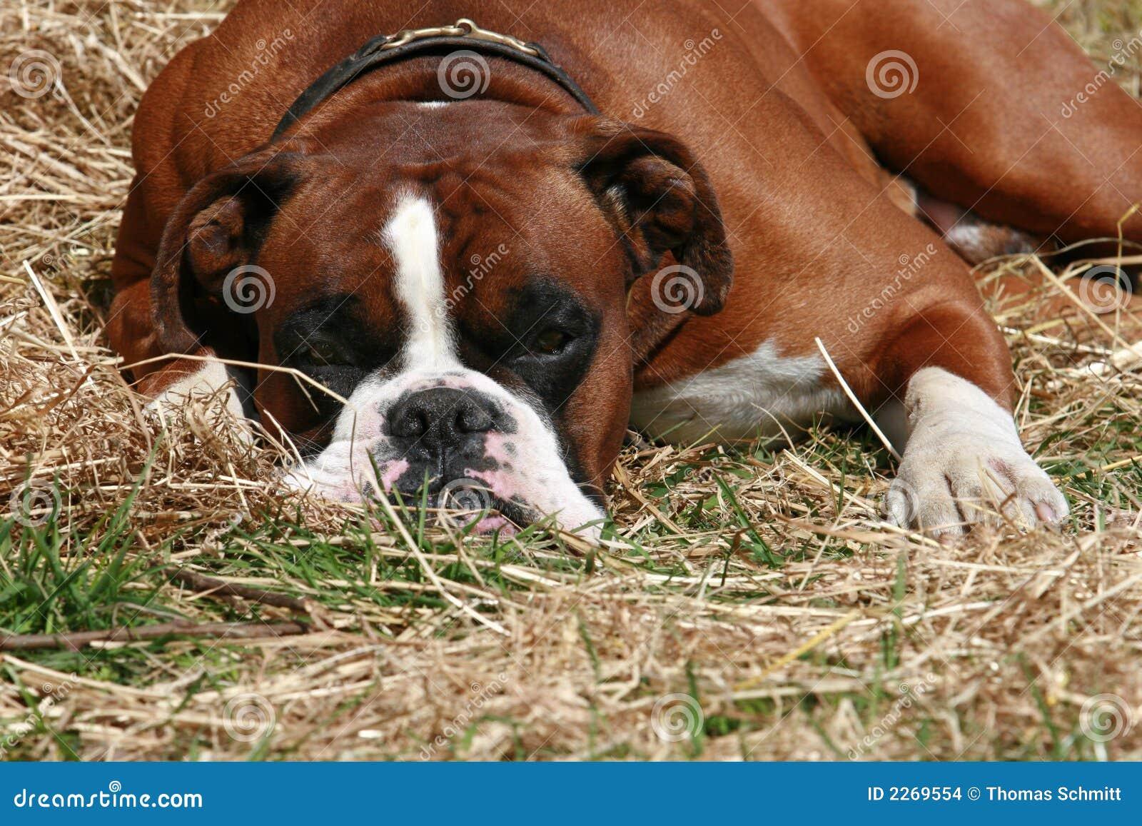 Hund auf dem Heu