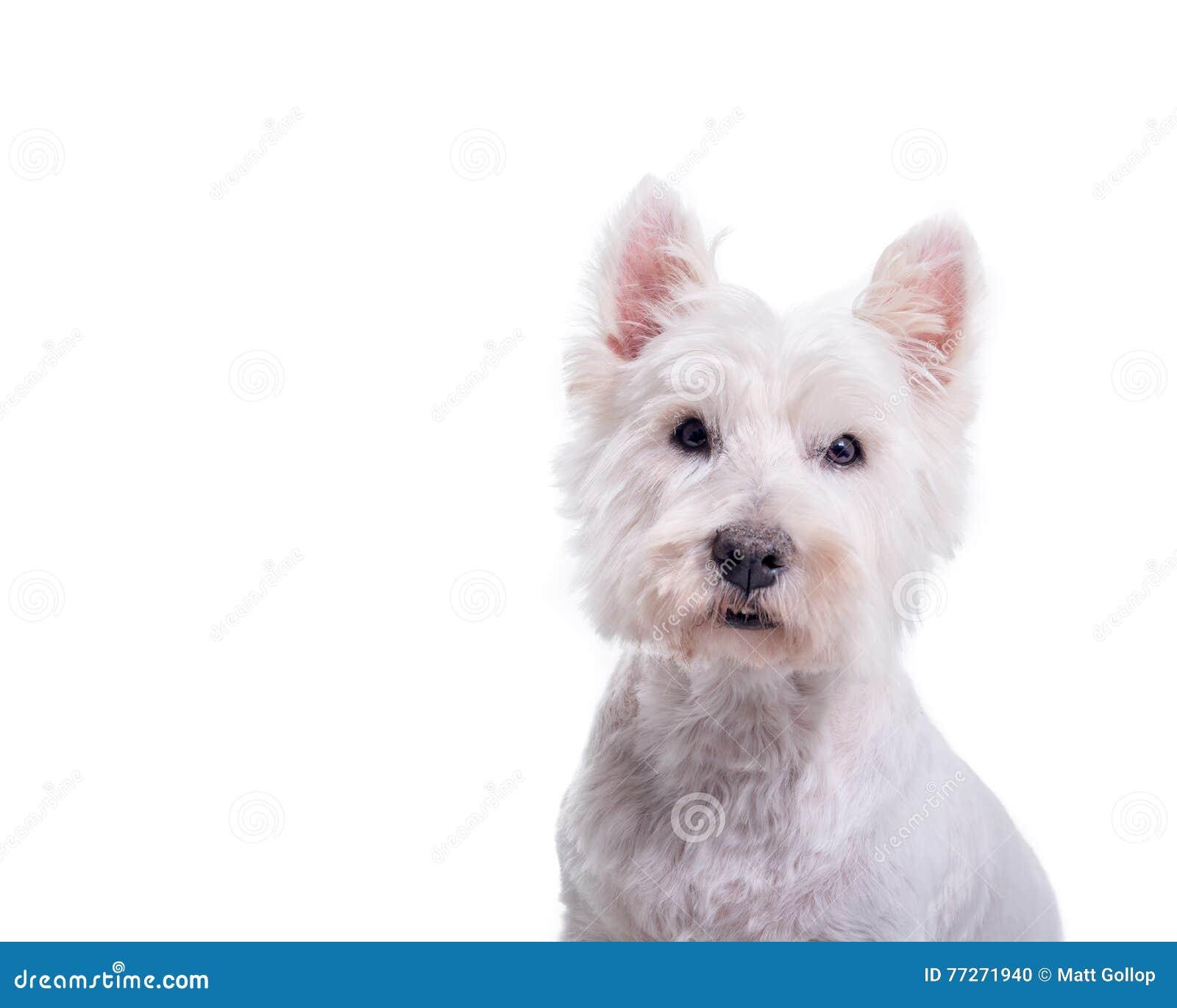 Hund auf dem weißen Hintergrund, eingelassen einem Studio