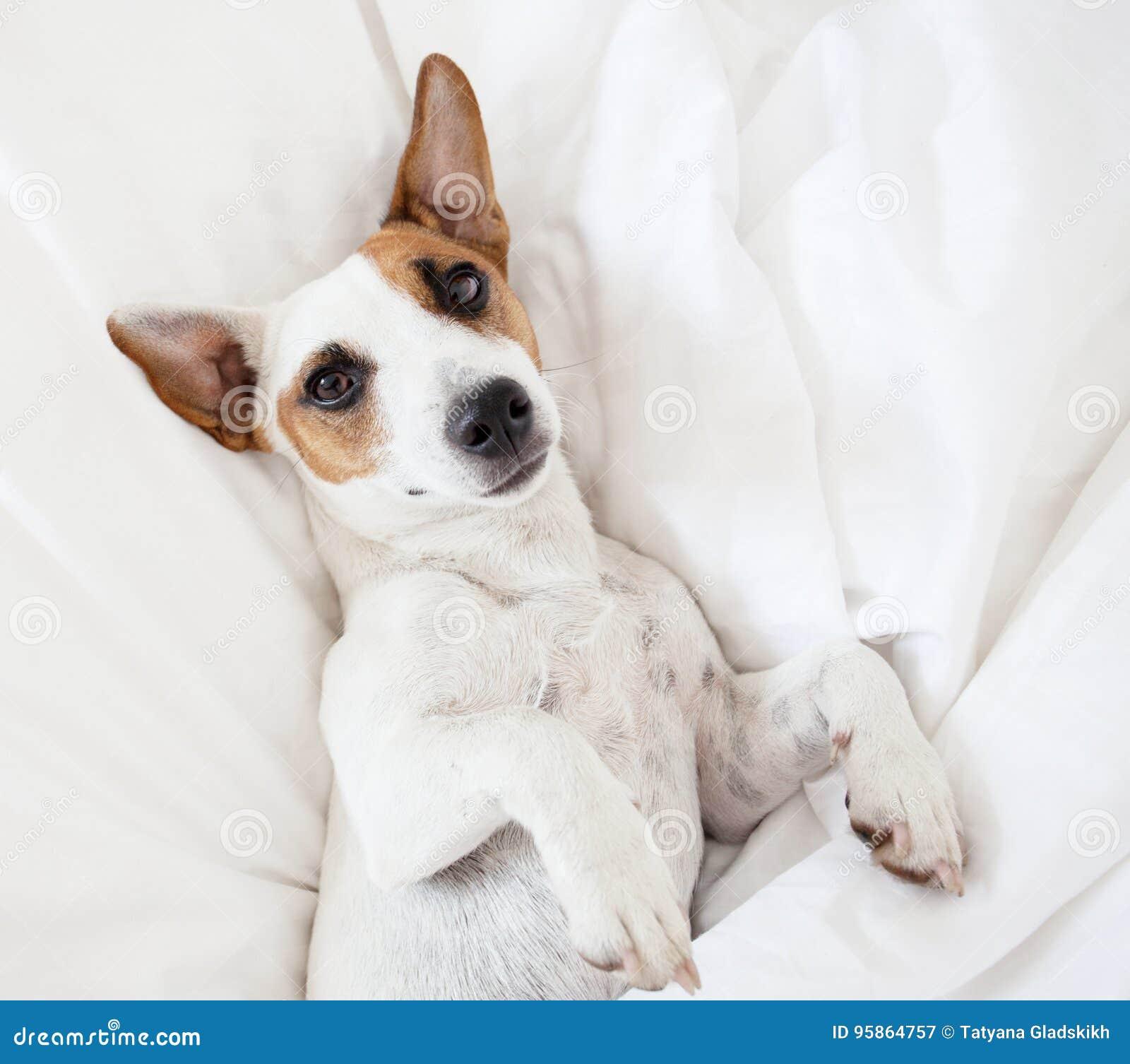 Hund Am Bett Stockbild Bild Von Steckfassung Decke 95864757