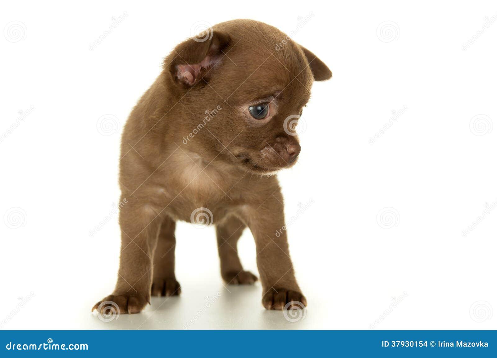 Hund, braune Farbe des Welpen