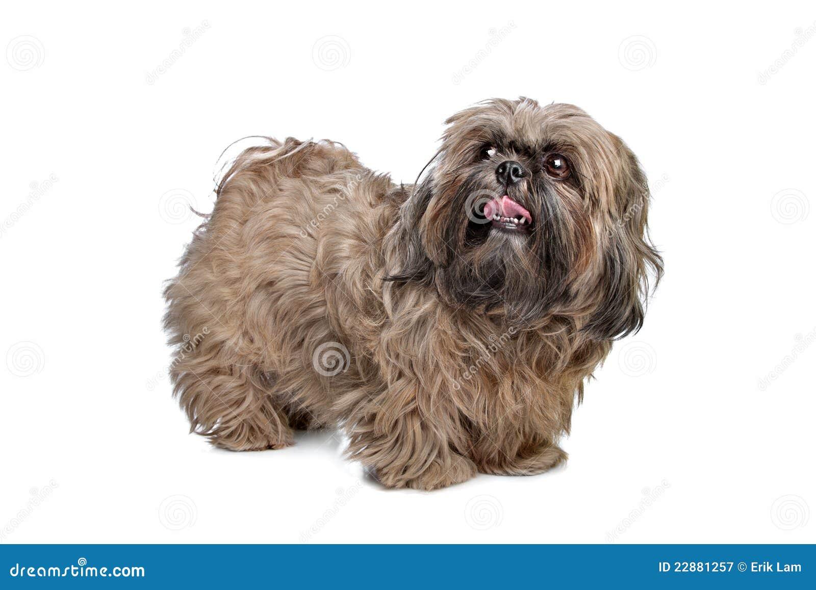 Hund Brown Shih Tzu Stockbild Bild Von Säugetier Reinrassig 22881257