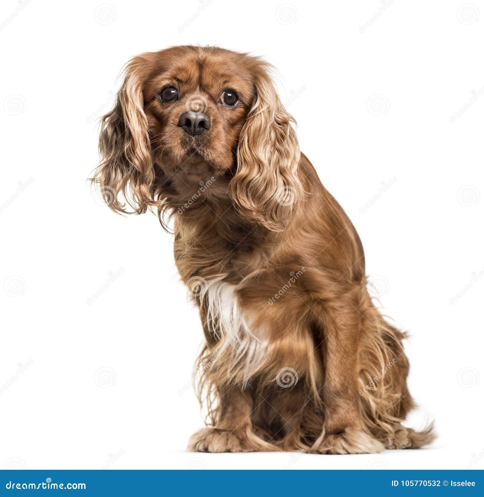 Hund Brown-unbekümmerter Königs Charles Spaniel, Sitzen, lokalisiert auf wh